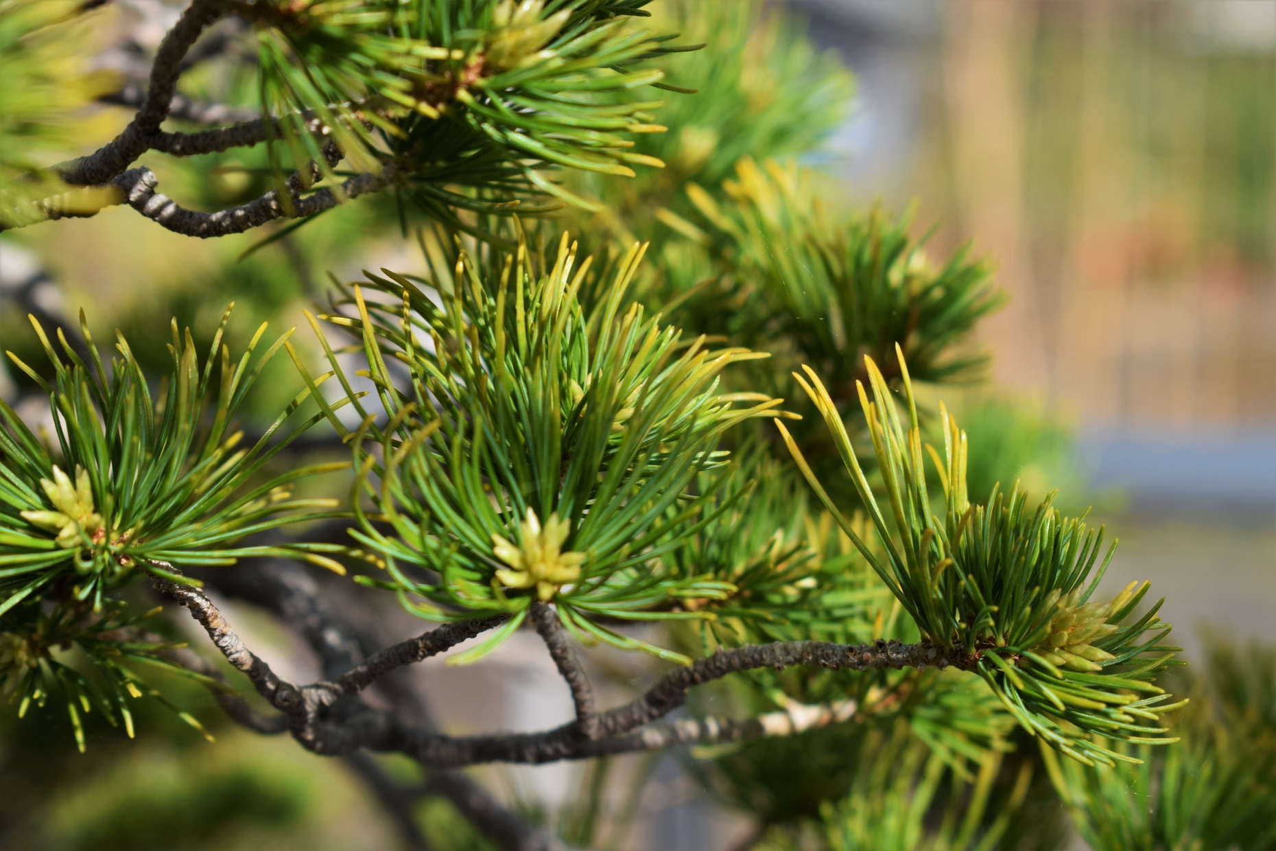 Japanese white pine, close up