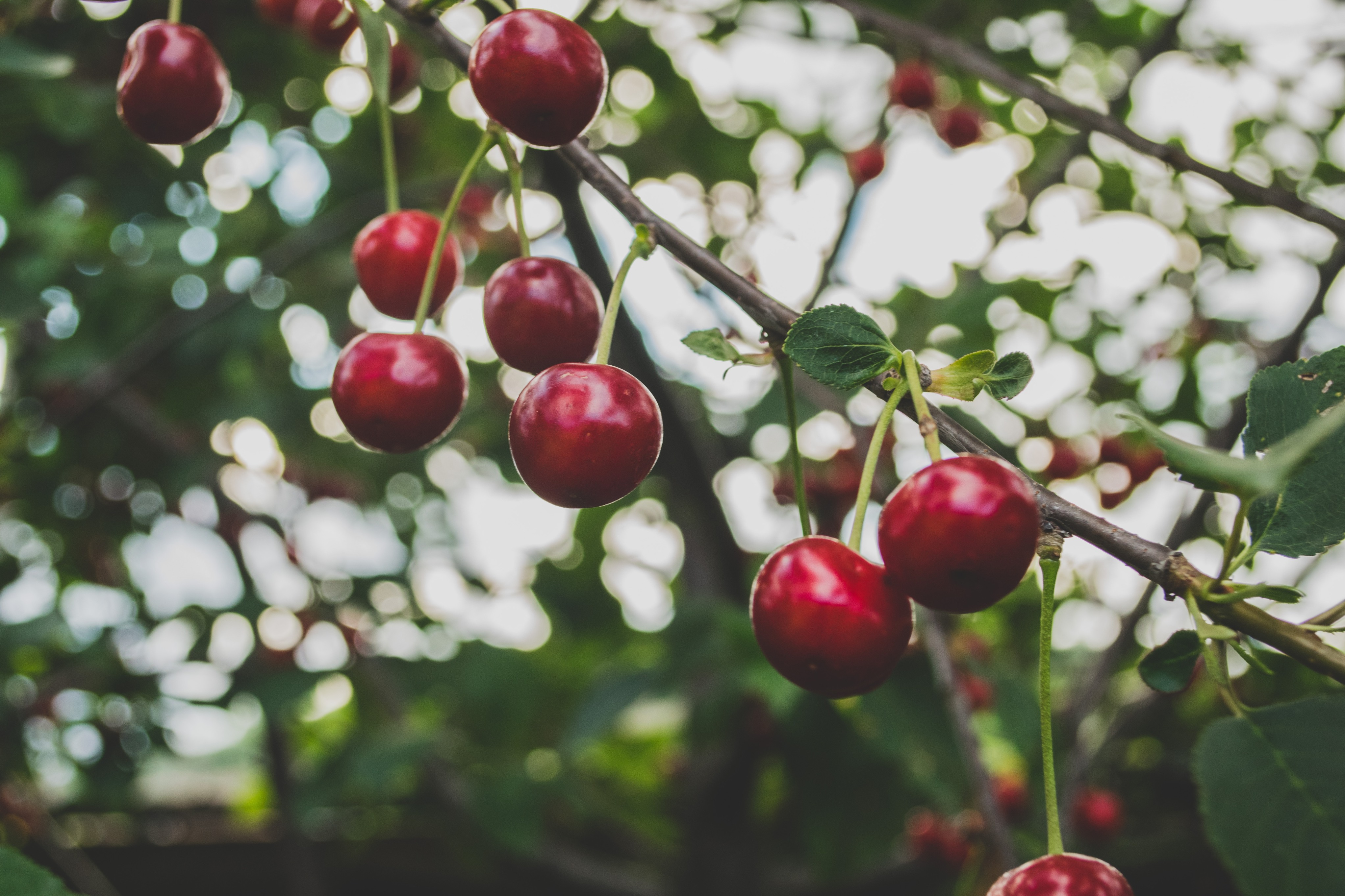 Cherry fruits in a tree branch