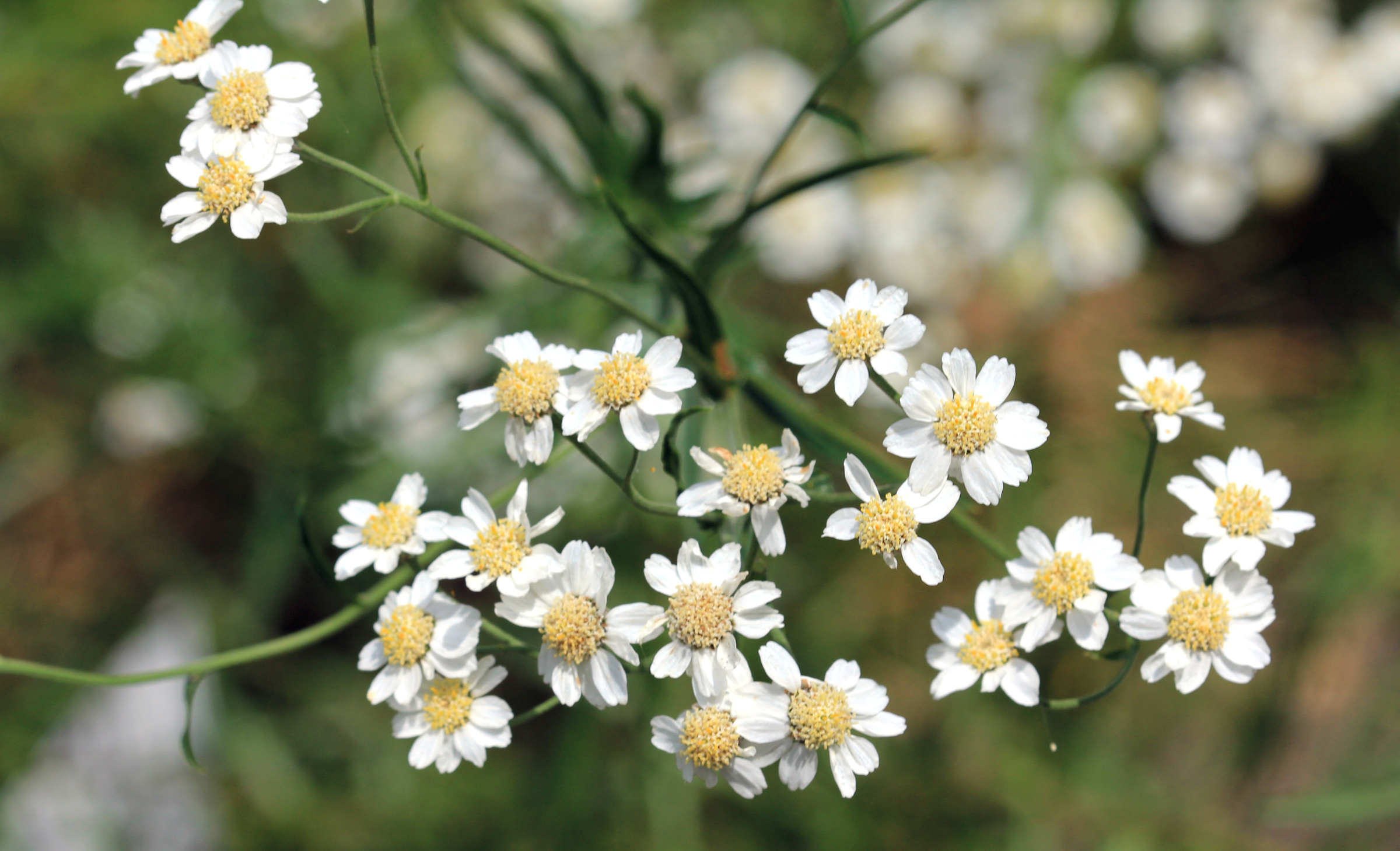 The white and yellow flowers of Sneezewort (Achillea ptarmica)