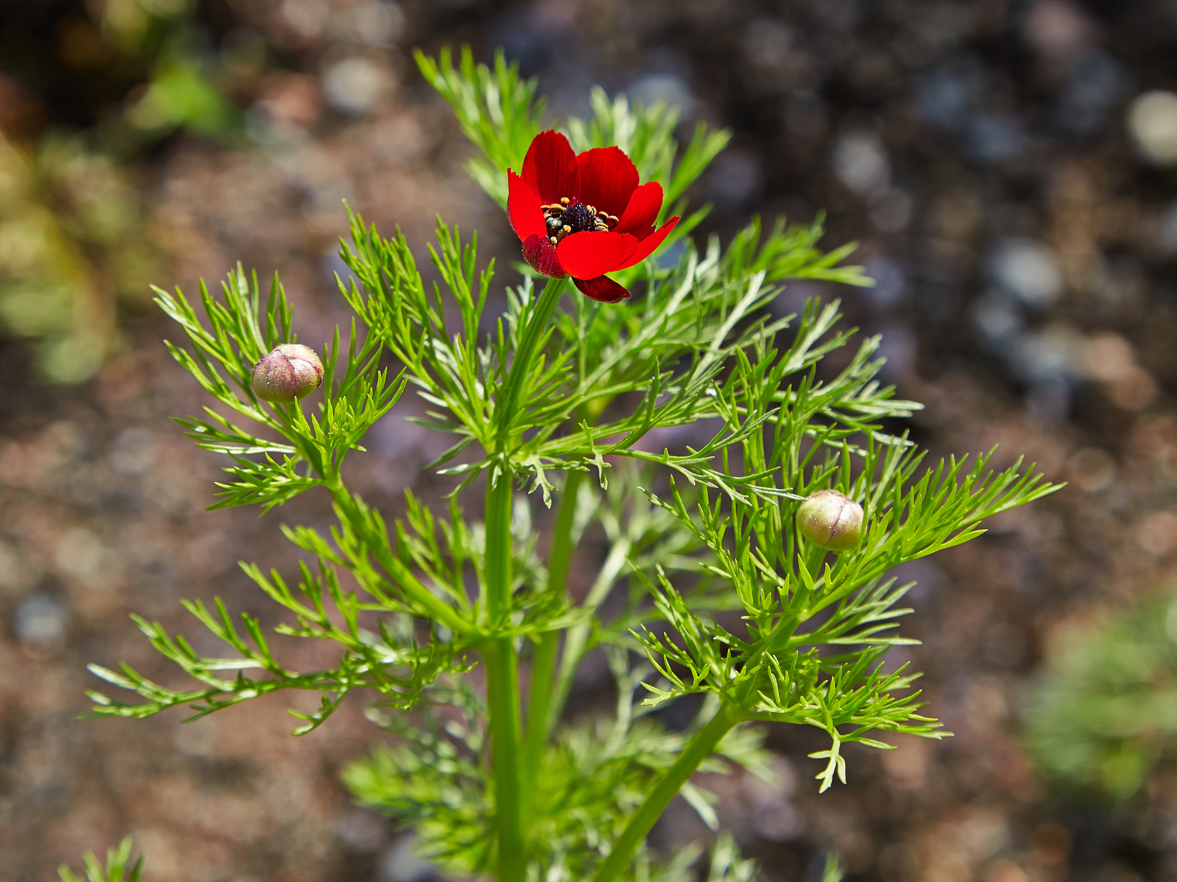 Peasant's eye (Adonis annua) with a bright red flower with a black center and feathered leaves