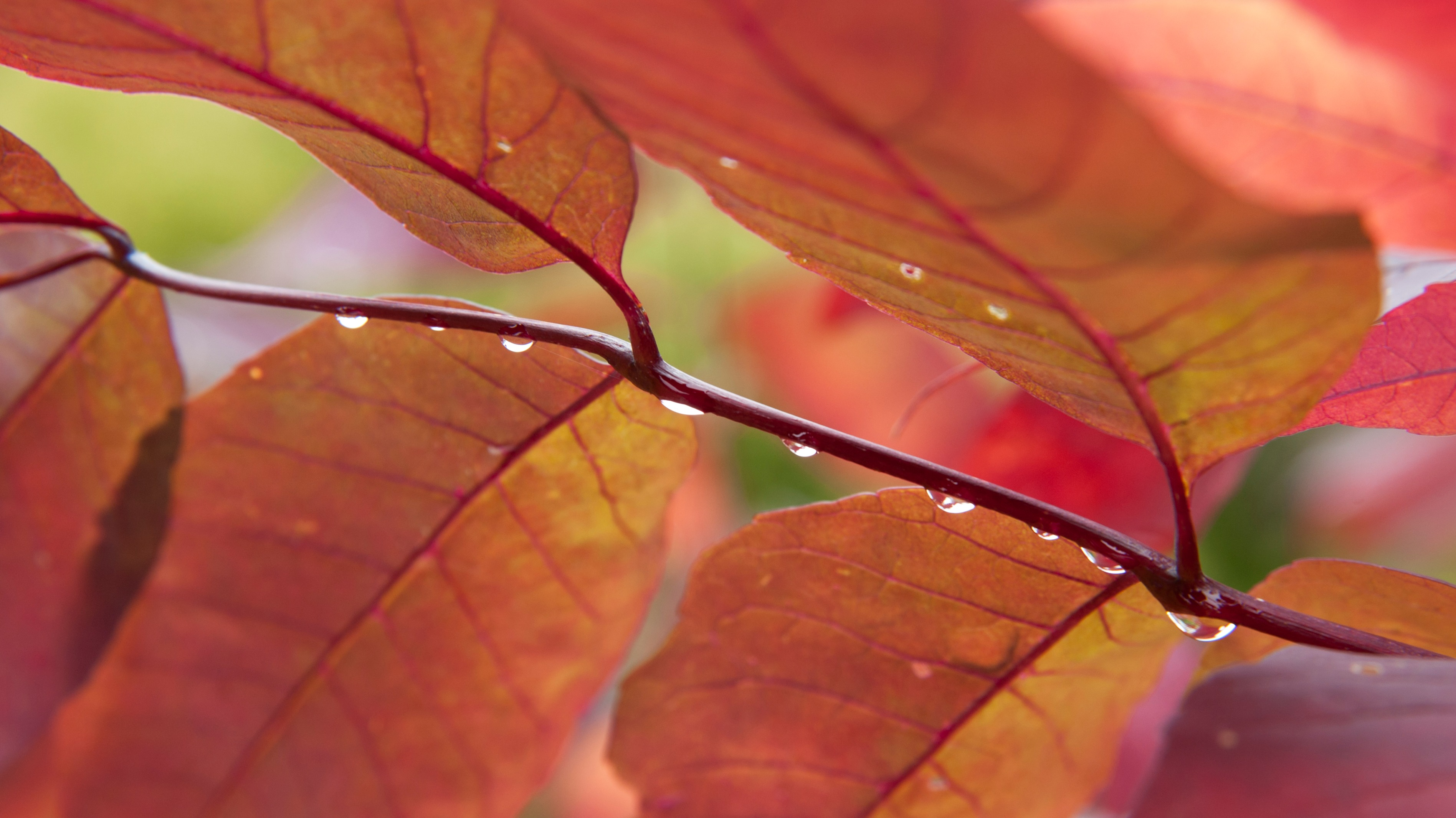 Close up of red leaves of American ash tree (Fraxinus americana)