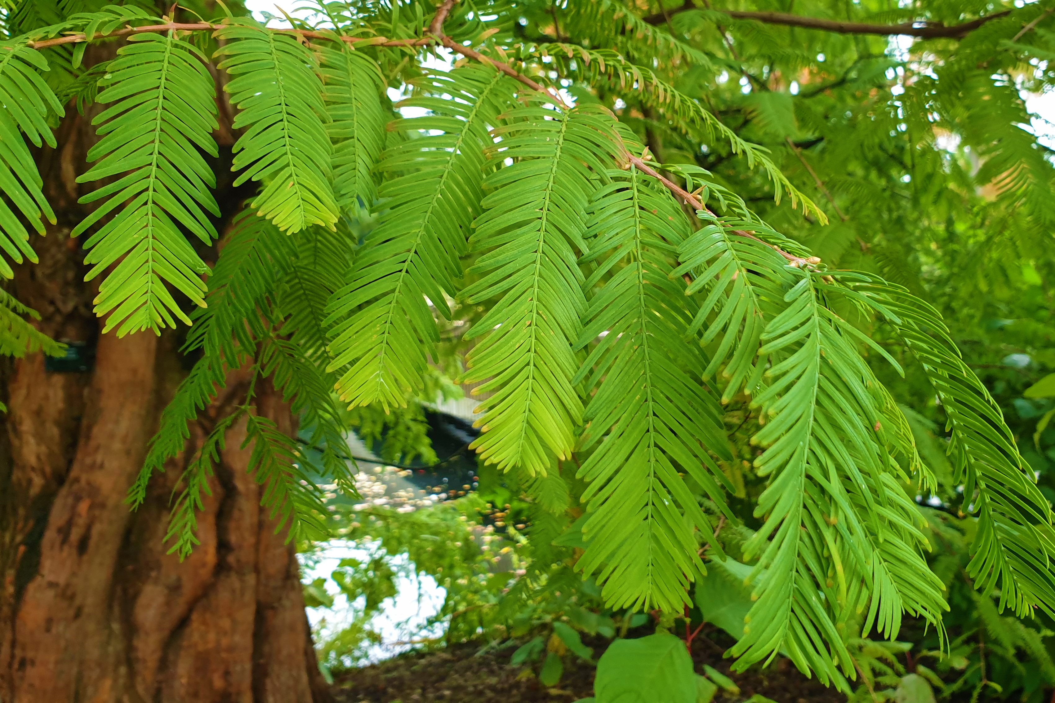 Close up of dawn redwood (Metasequoia glyptostroboides) leaves