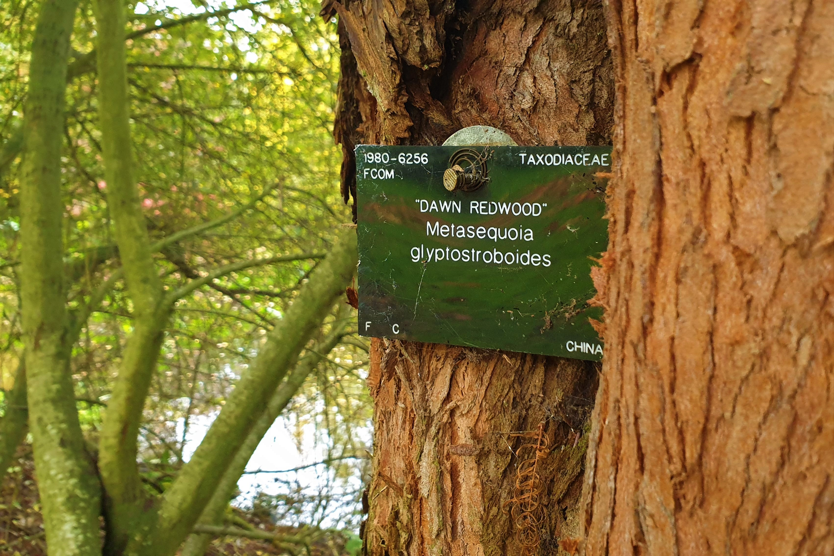Close up of dawn redwood (Metasequoia glyptostroboides) label