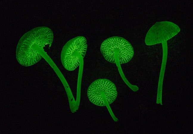 Mycena manipularis. Mushrooms glowing in the dark.