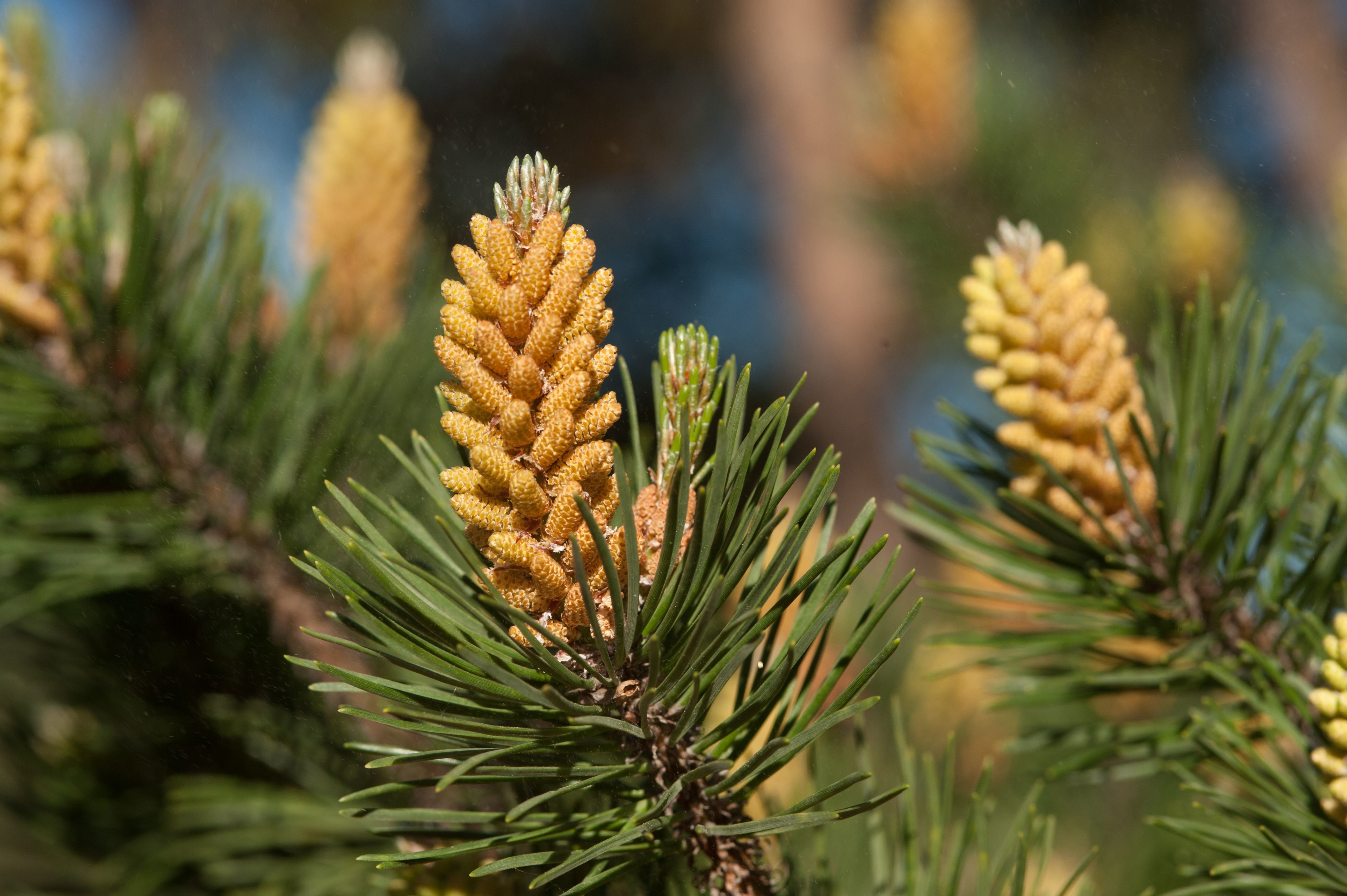 Close up of cones of lodgepole pine (Pinus contorta)