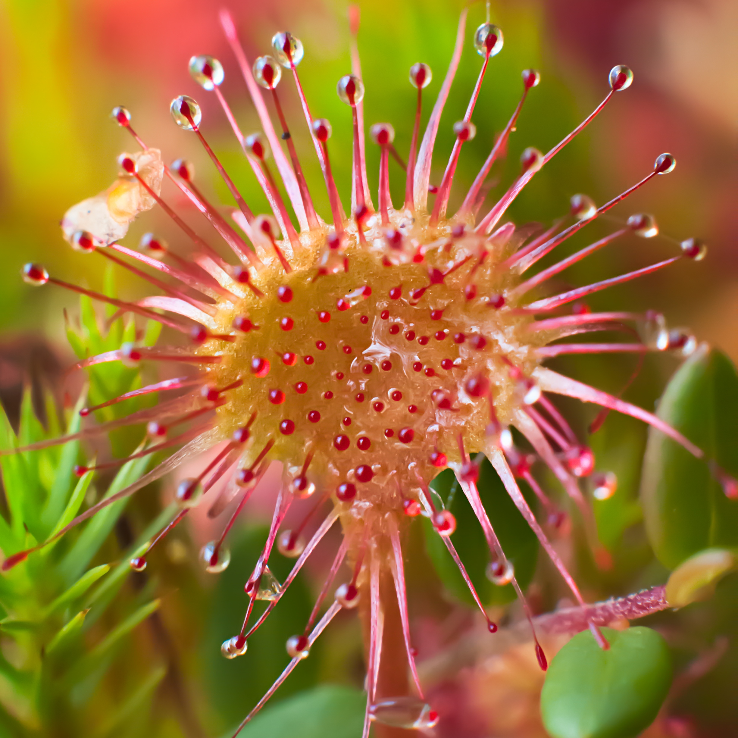 Round-leaved sundew (Drosera rotundifolia) with sticky red round leaves.
