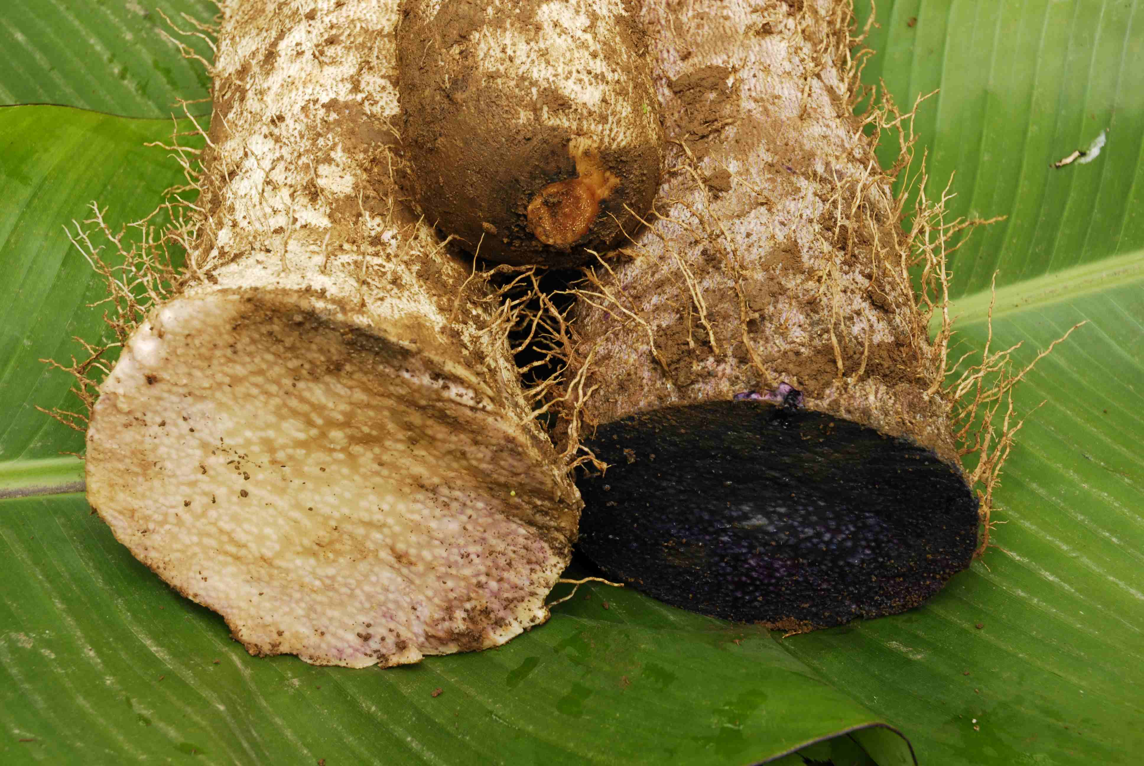 Three varieties of cultivated guinea yam (Dioscorea rotundata) from Ethiopia