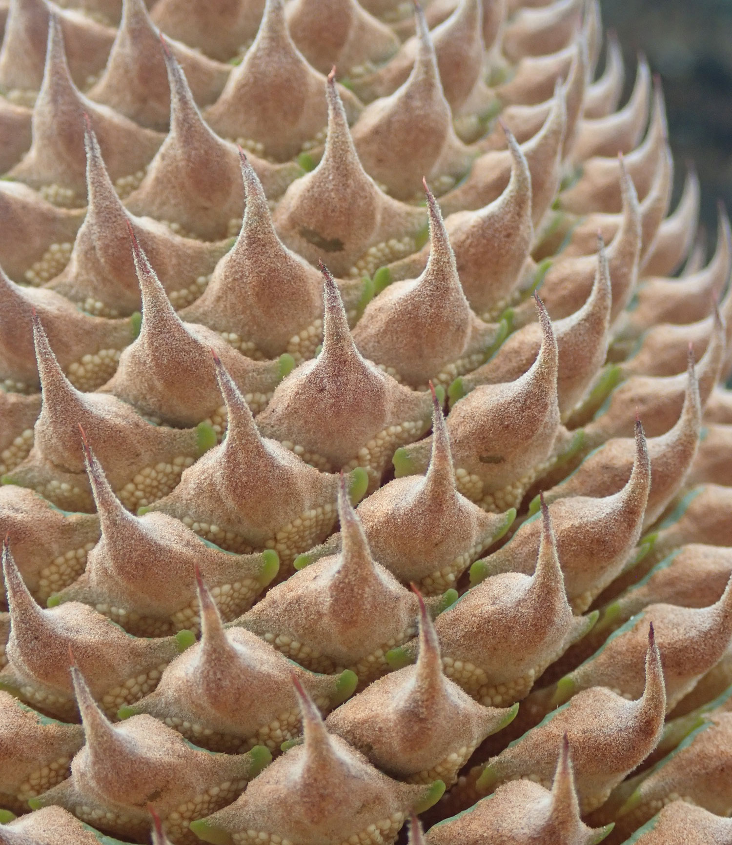 Up close with a cycad showing little sacs underneath the bracts