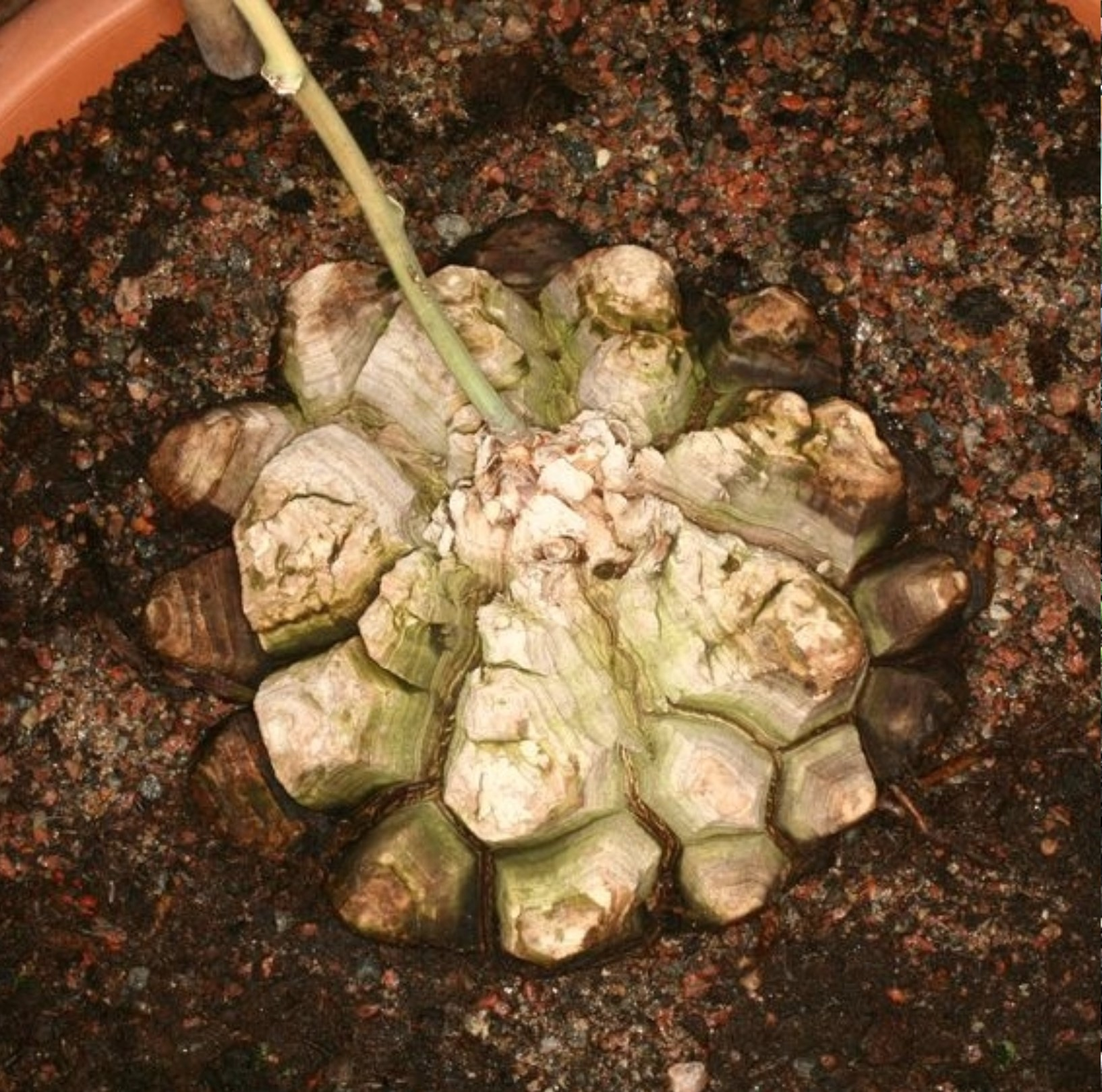 Dioscorea mexicana with thick, woody outer layer divided up into polygons