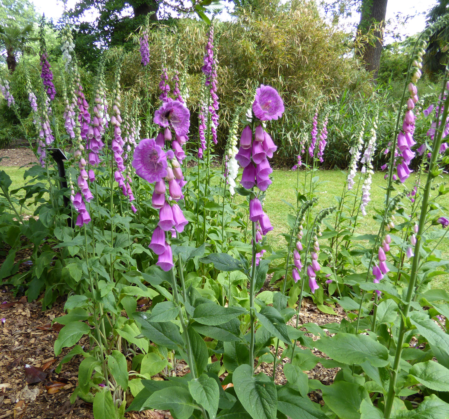 Purple foxgloves with two plants that have different shaped flowers