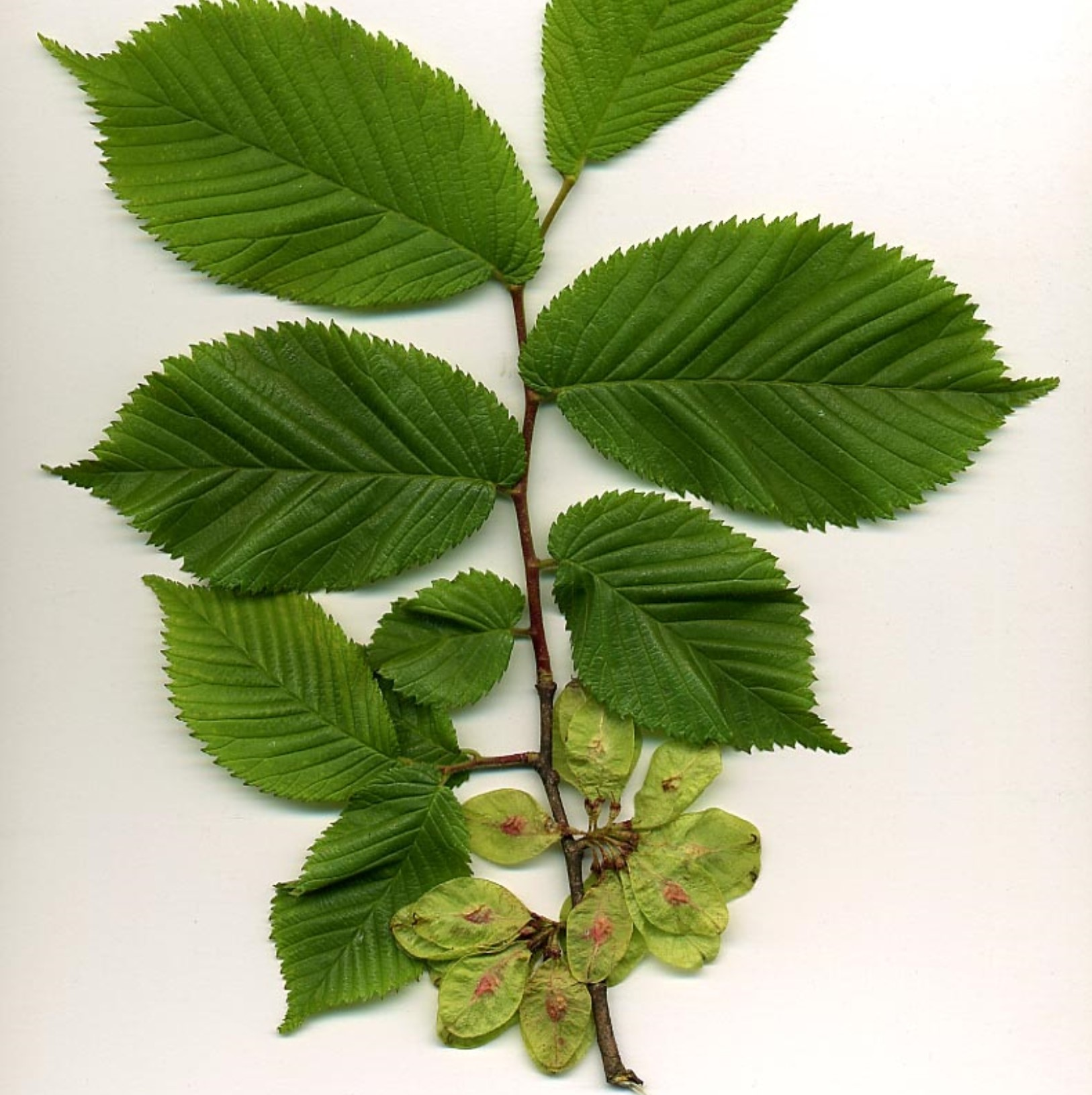 Wych elm leaves and seeds