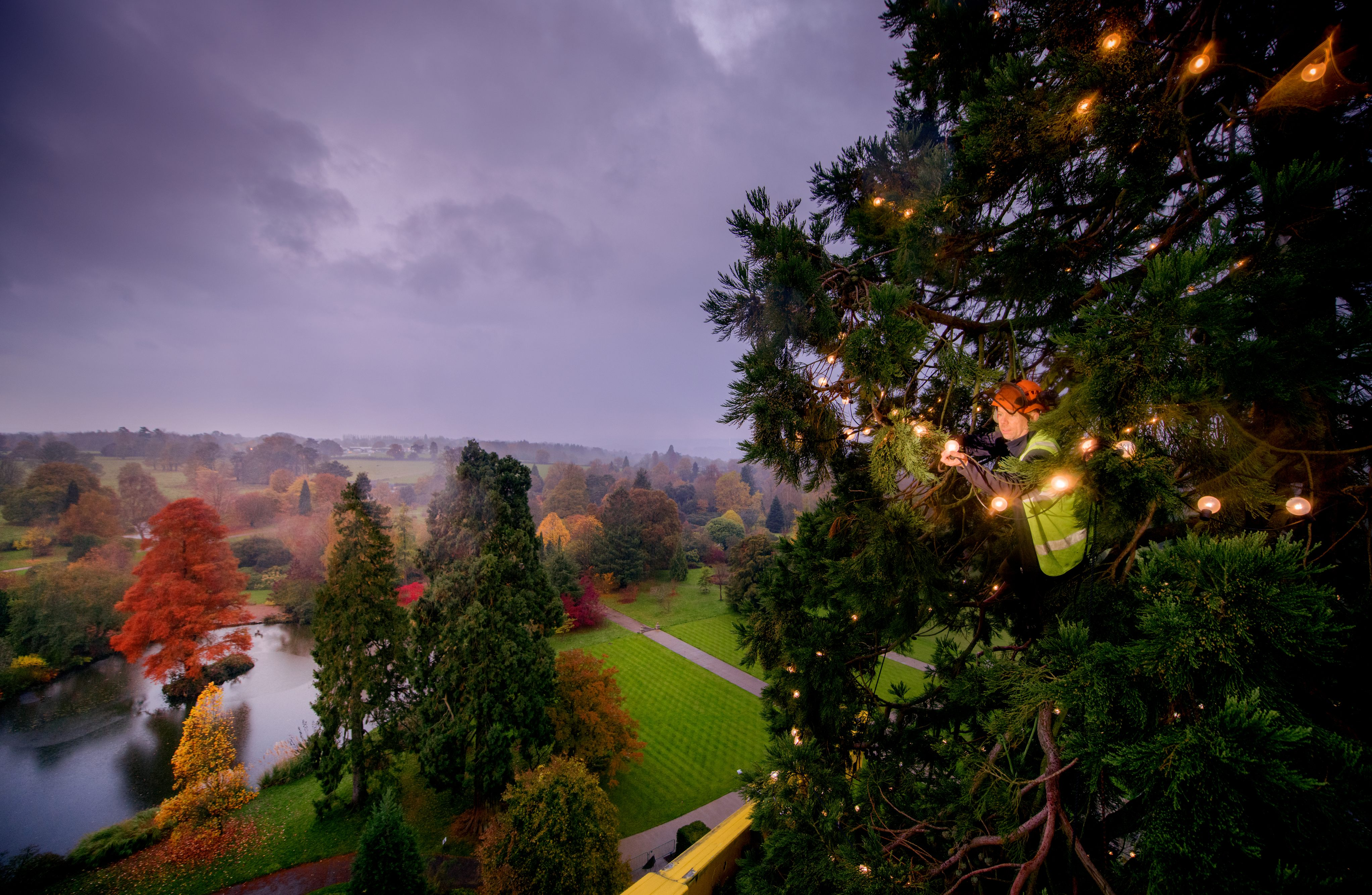 Staff member decking the Wakehurst Christmas tree with lights
