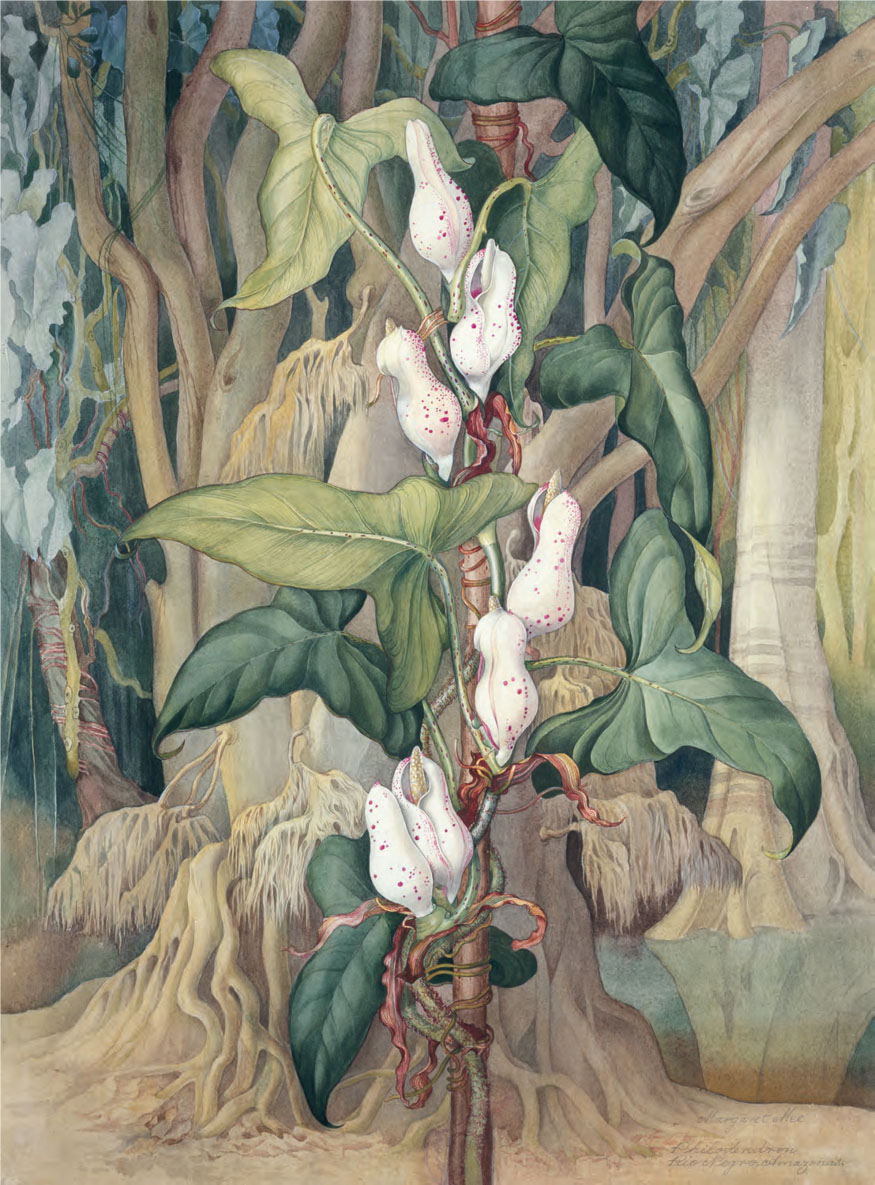 'Philodendron sp. Rio Negro, Amazonas' by Margaret Mee © Shirley Sherwood Collection