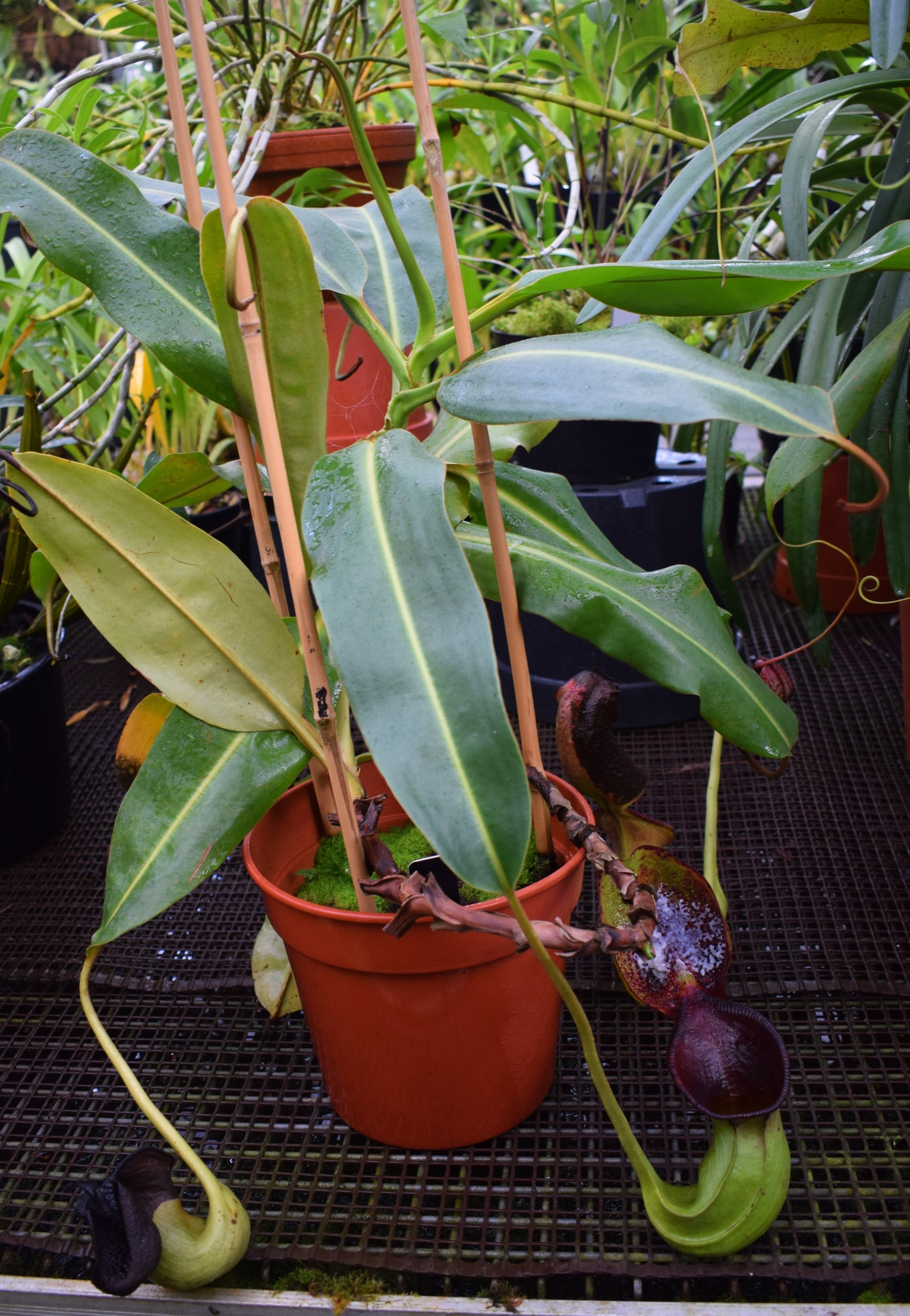 Pitcher plant Nepenthes ephippiata