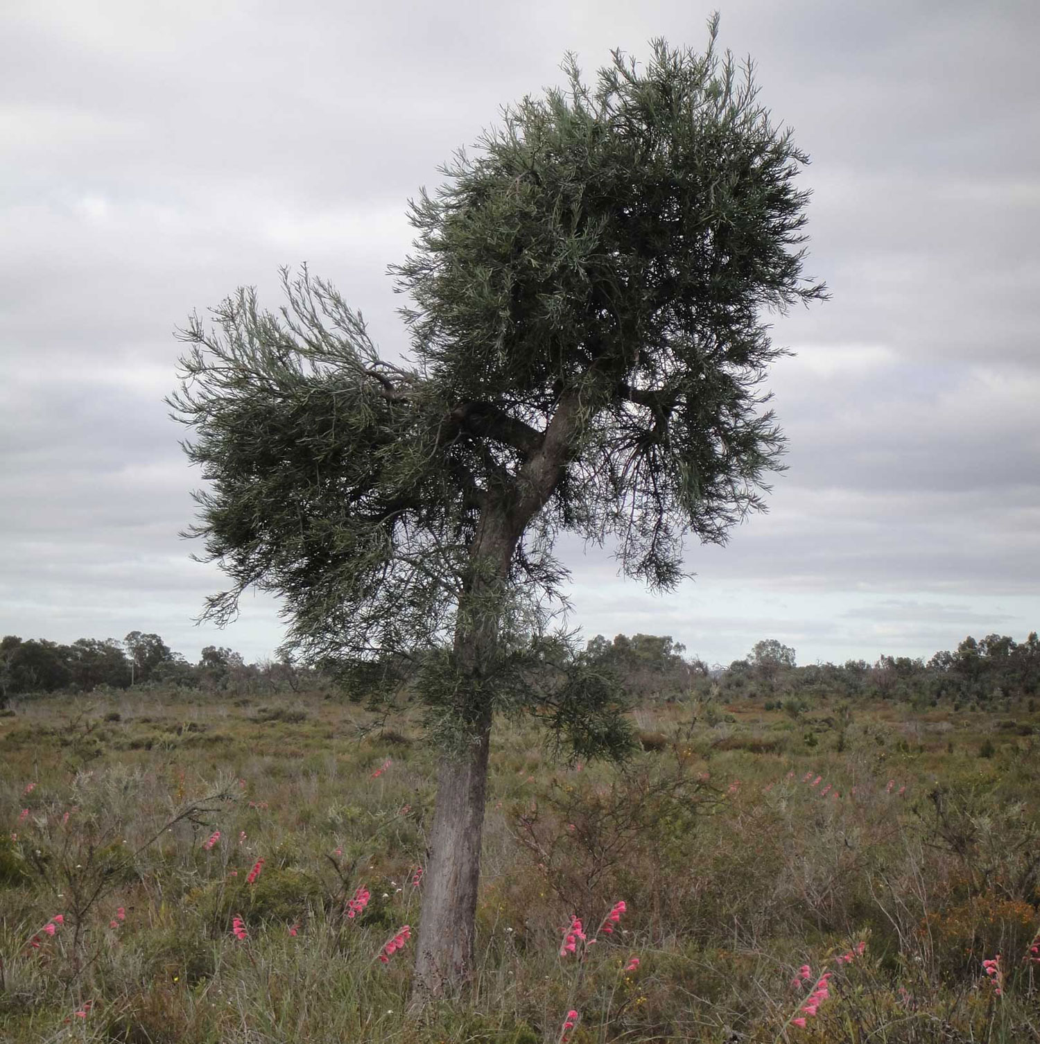 A tree surrounded by shrubland