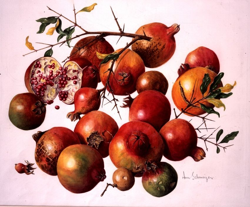 5 Things You Didn T Know About Pomegranates Kew