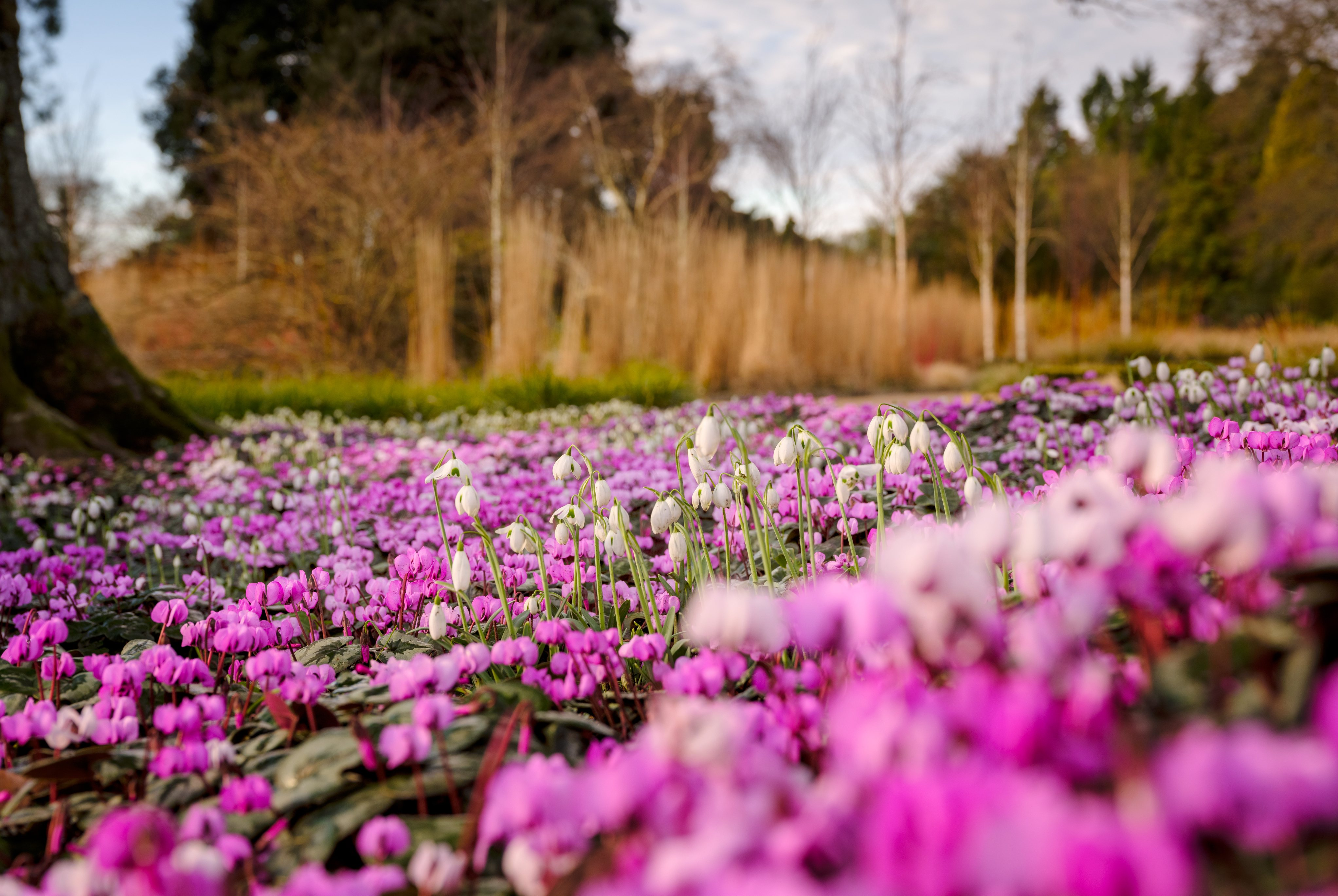 Cyclamen and snowdrops in Wakehurst's Winter Garden