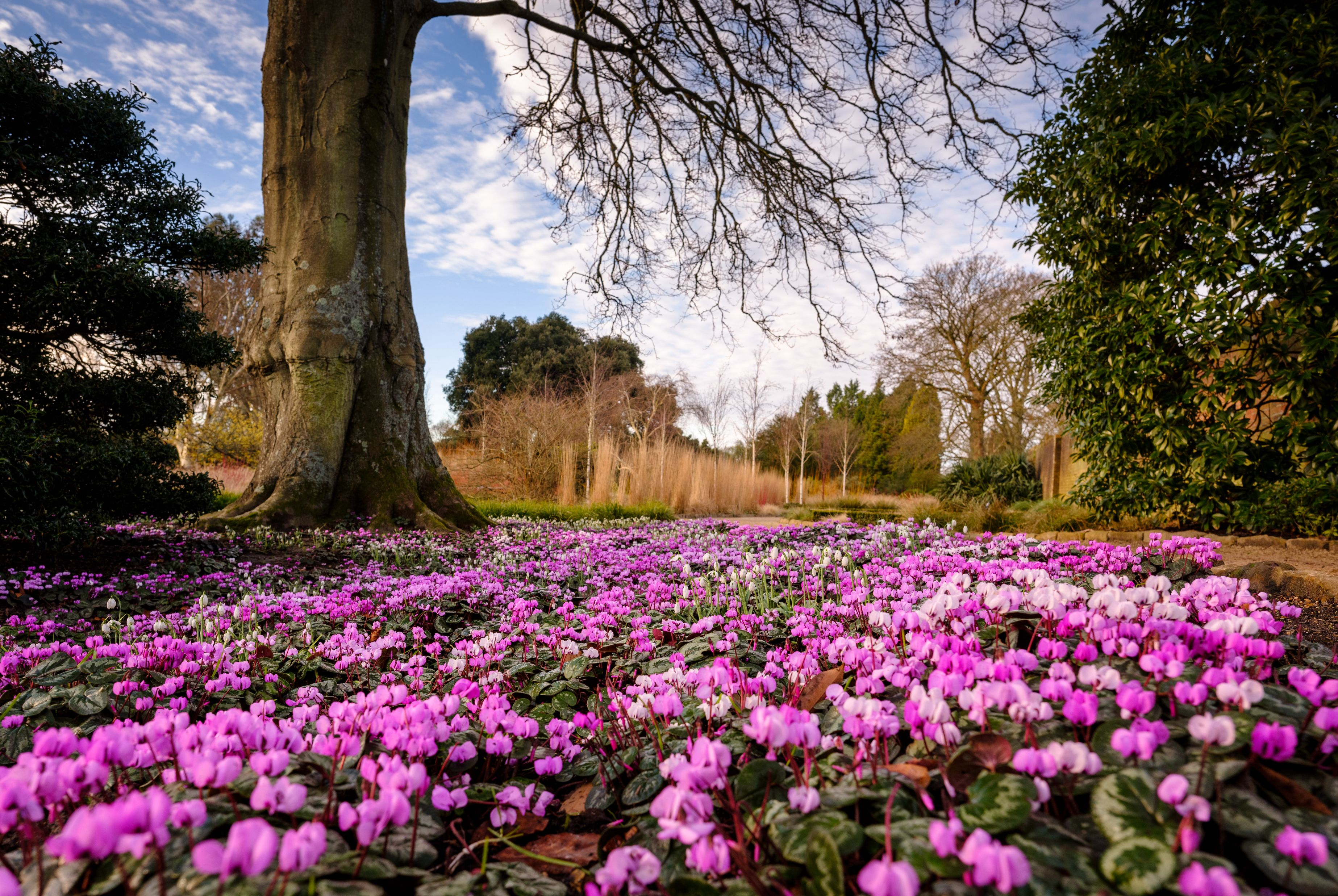Cyclamen in the Winter Garden at Wakehurst
