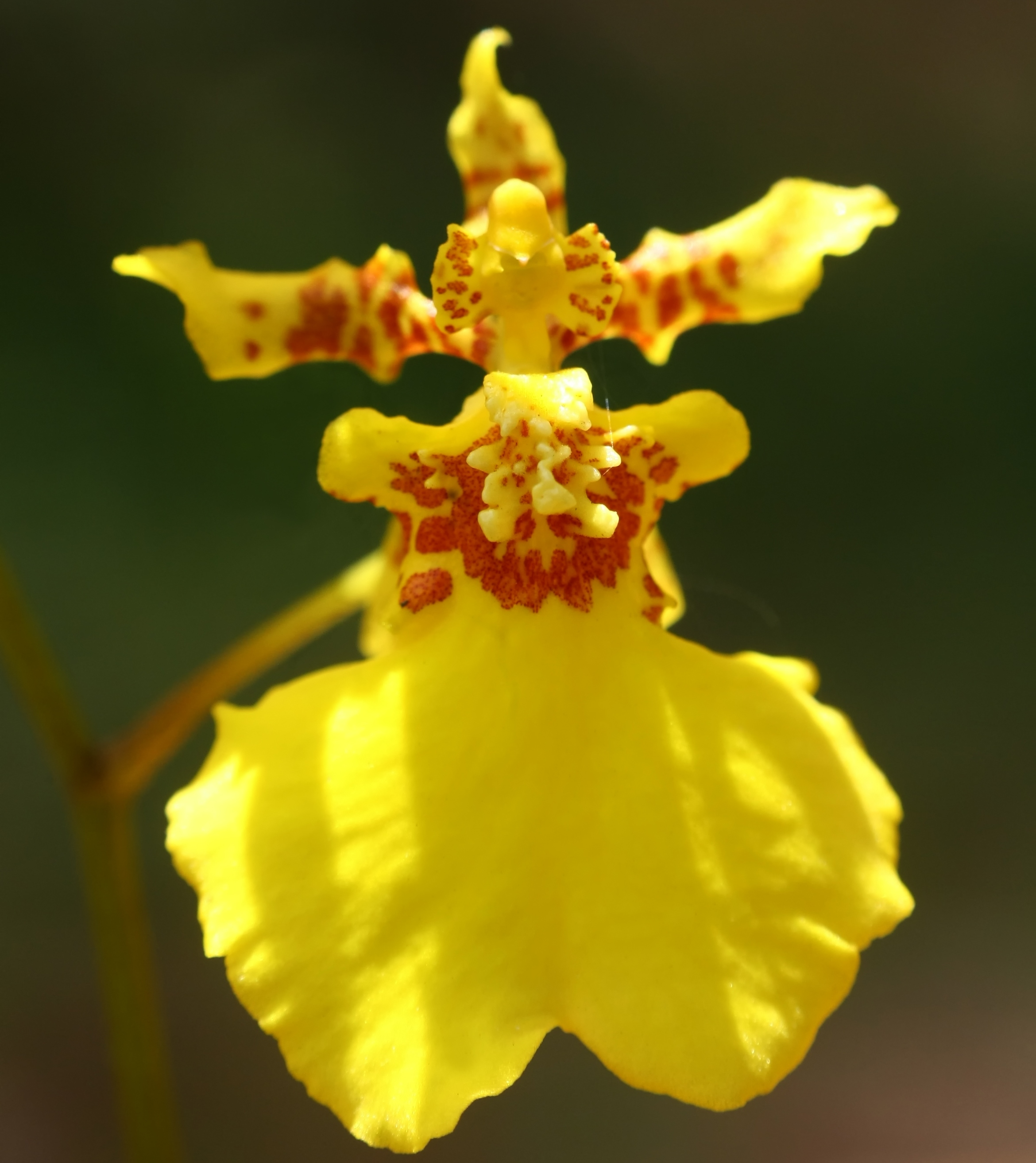 Dancing lady orchid (Oncidium sp.)