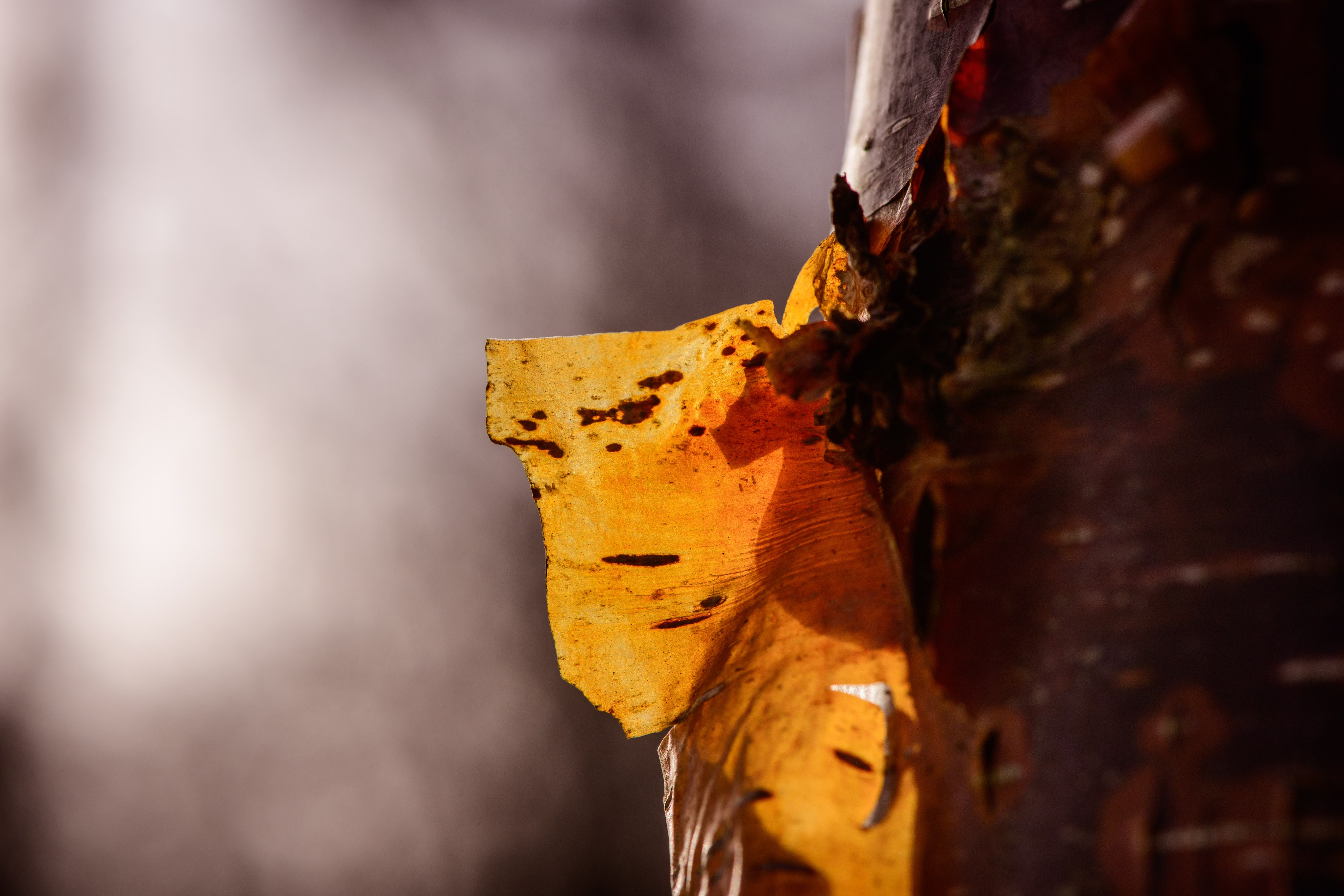 Close up of peeling bark on birch tree in Bethlehem Wood, Wakehurst