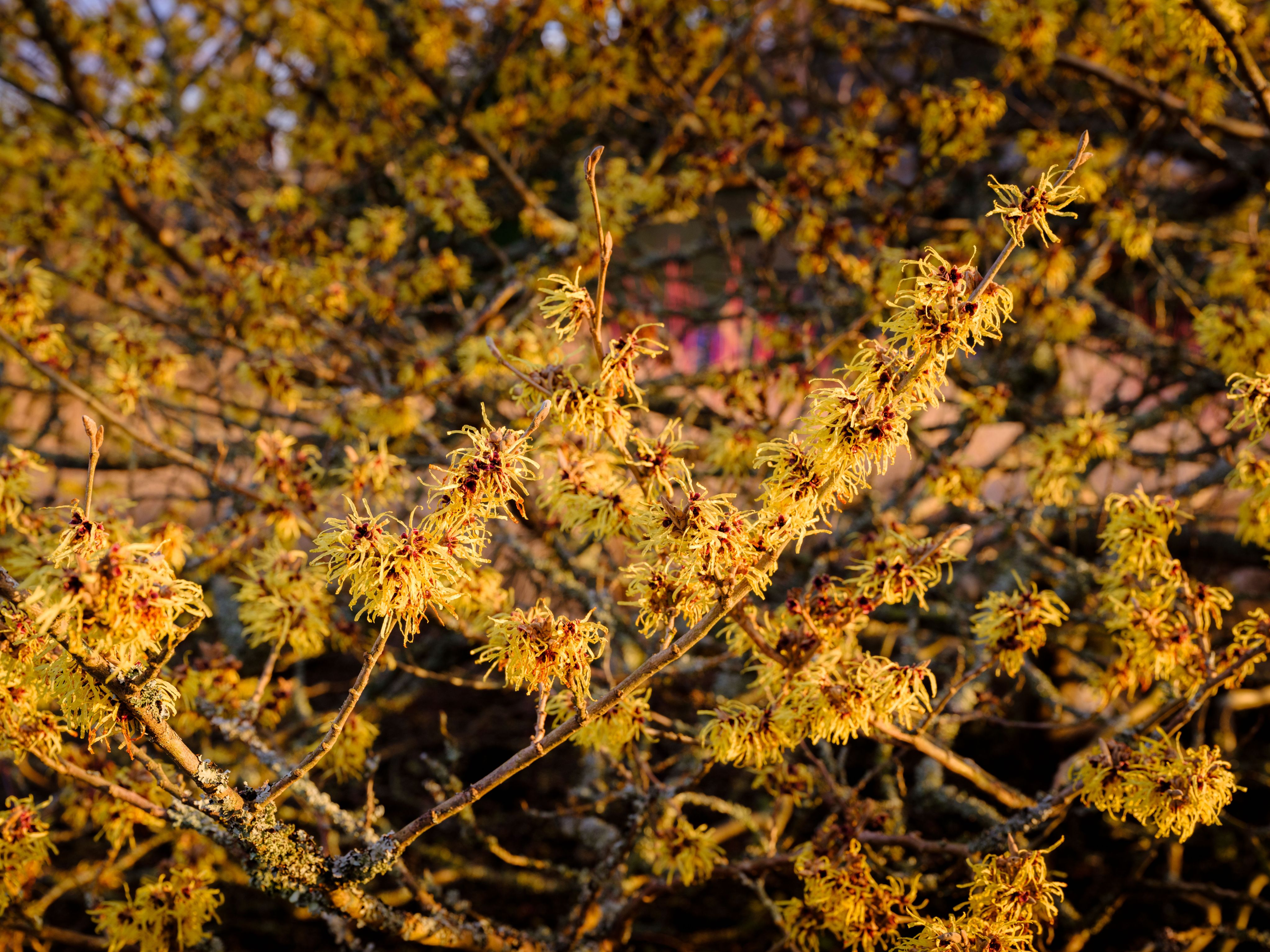 Close up of witch hazel (Hamamelis) in Wakehurst Winter Garden