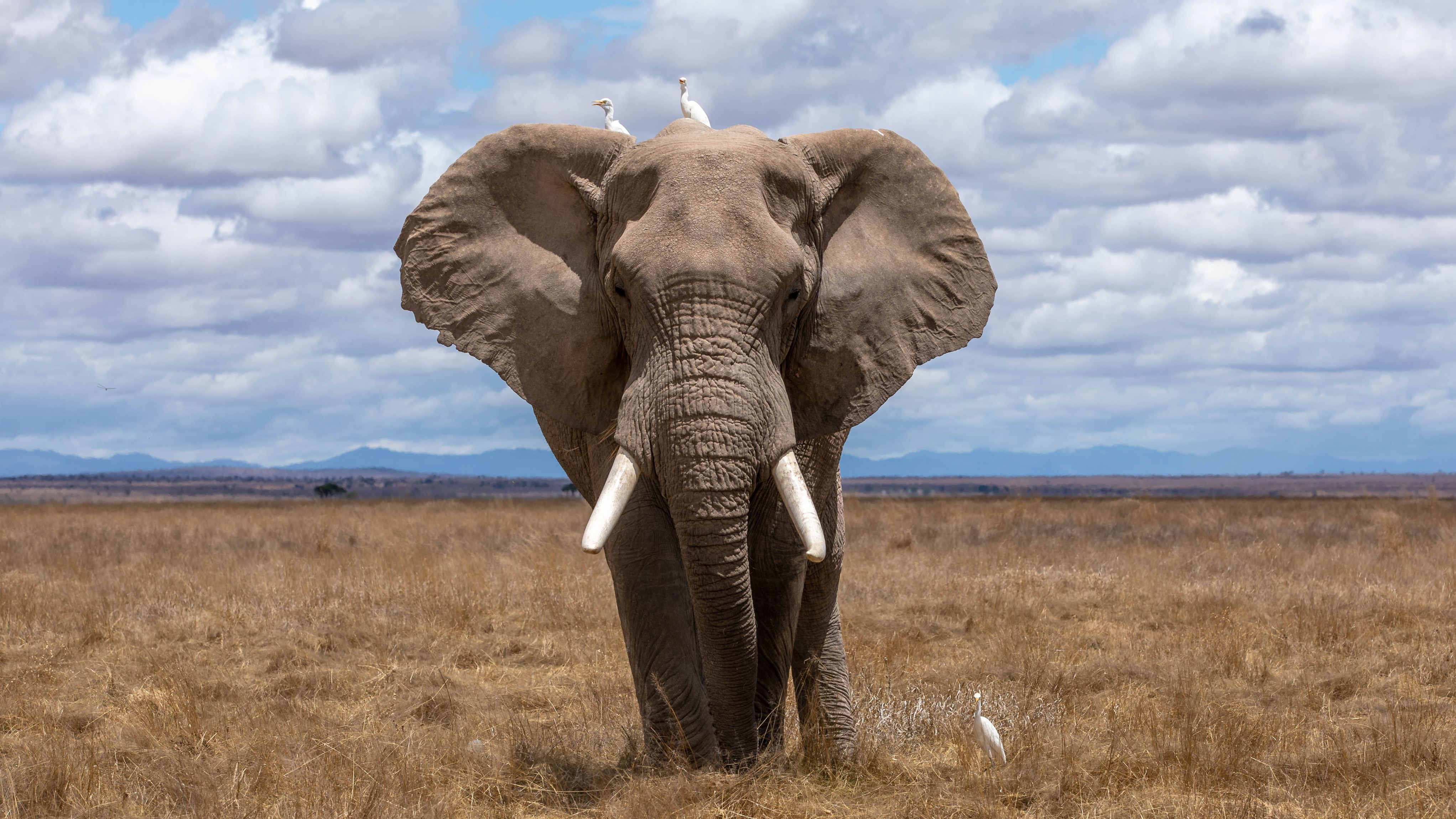 Large African elephant in the savannah