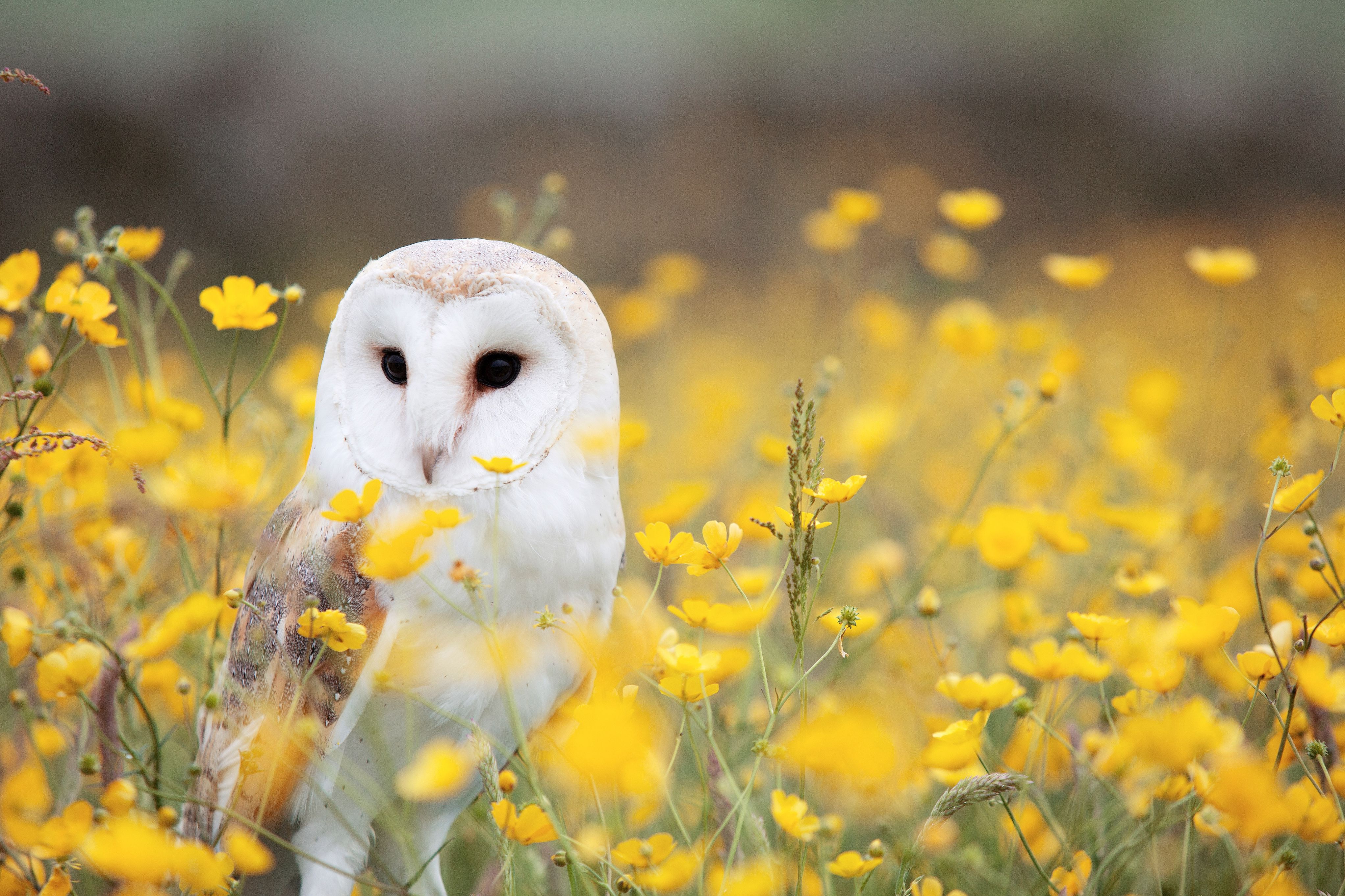 Barn owl (Tyto alba) sitting in field of yellow flowers
