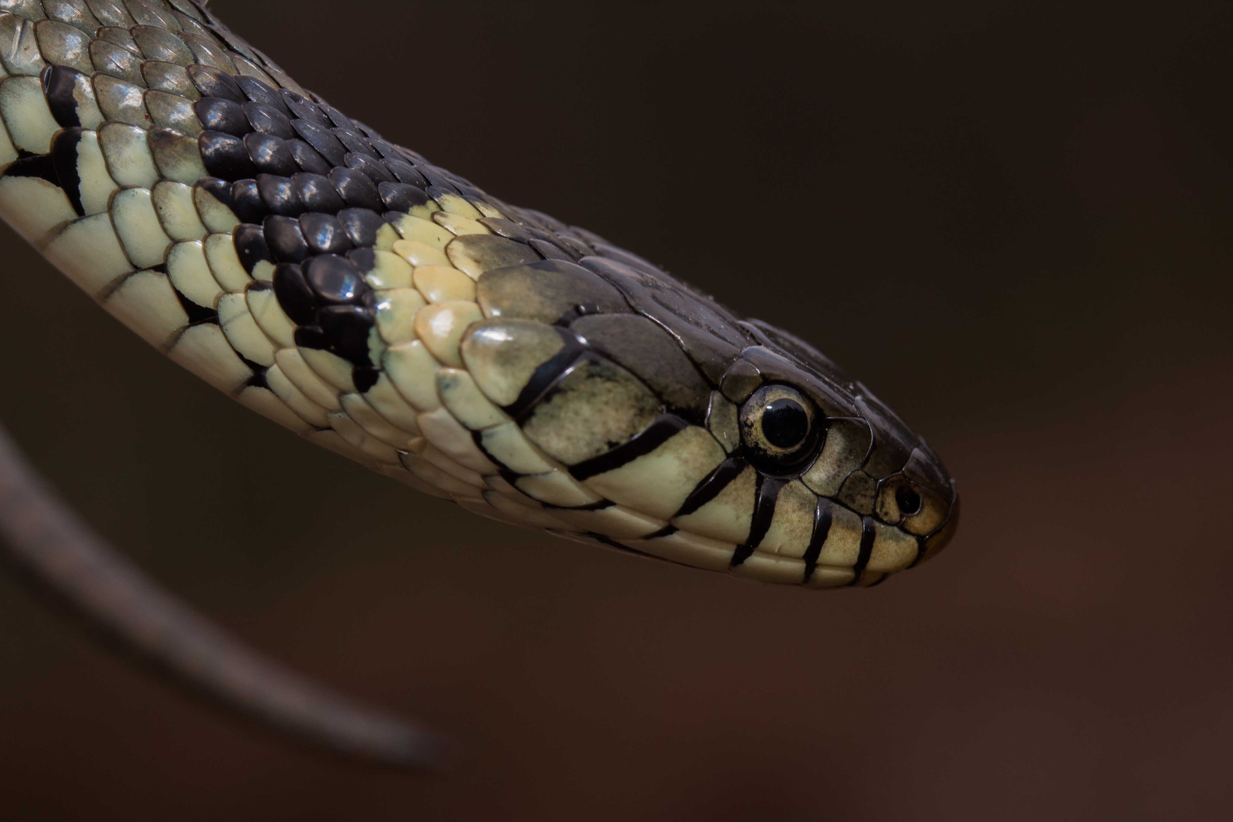 Close up of grass snake (Natrix helvetica)