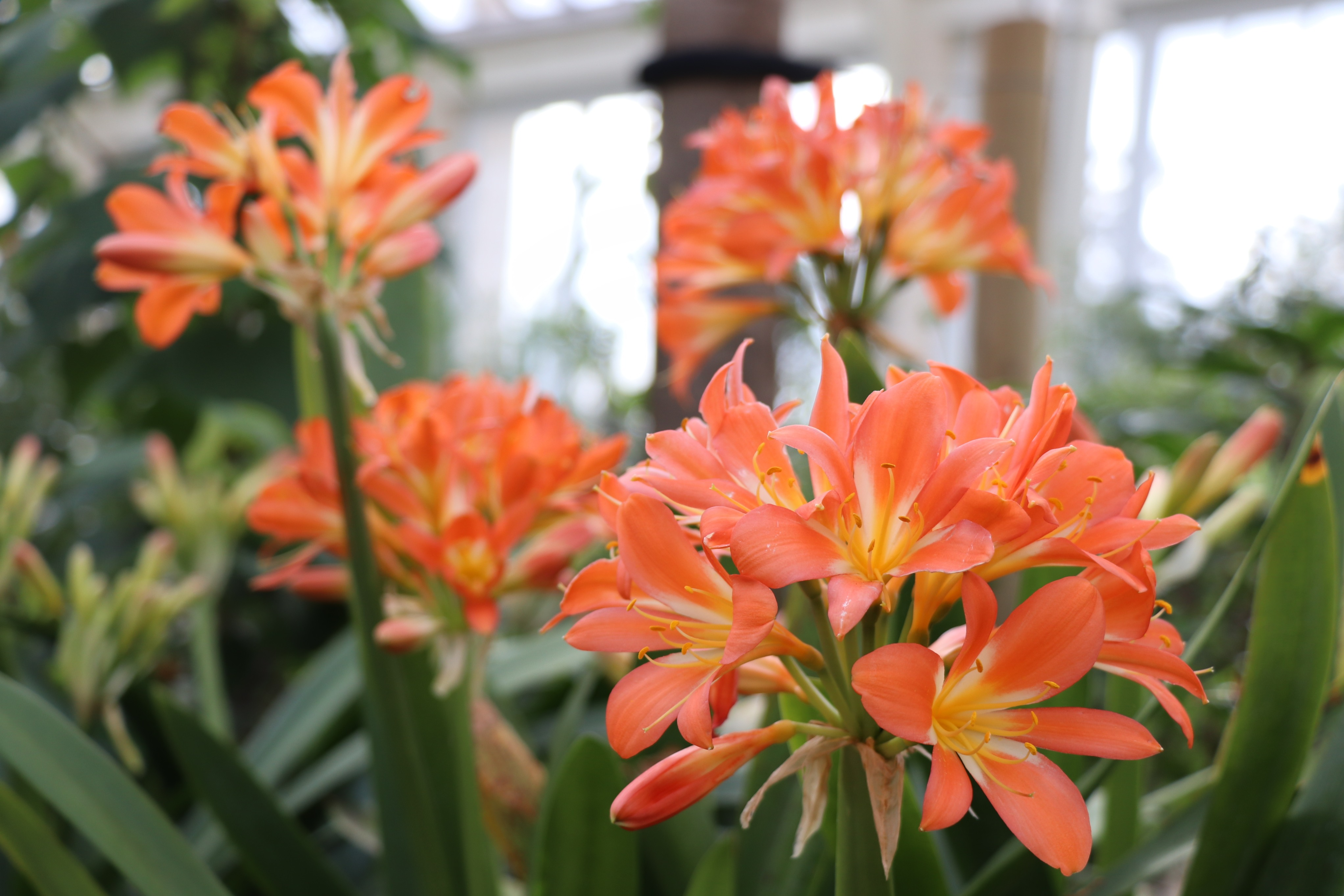 Orange flowers of Clivia miniata