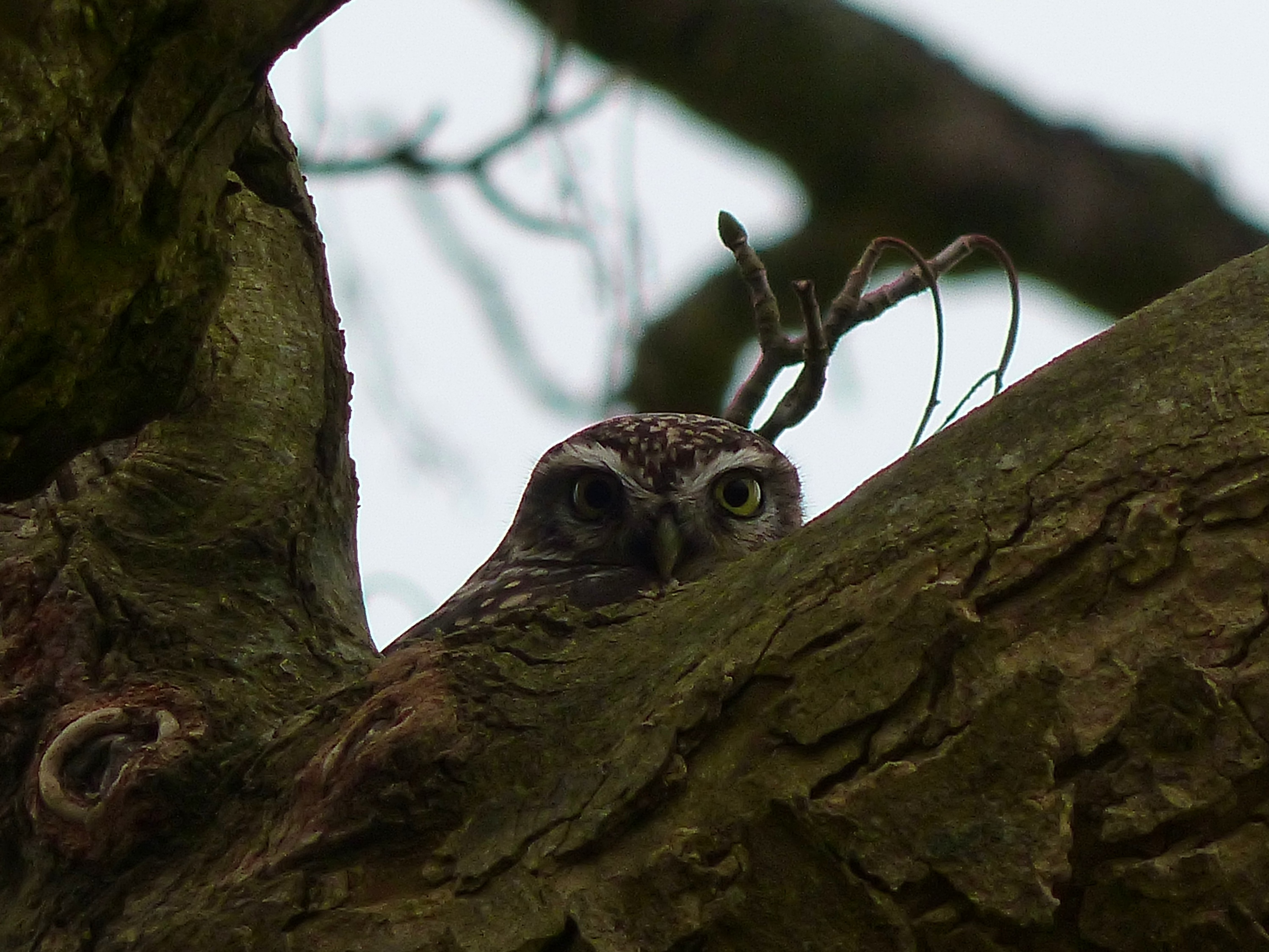Little owl perched in a tree at Wakehurst