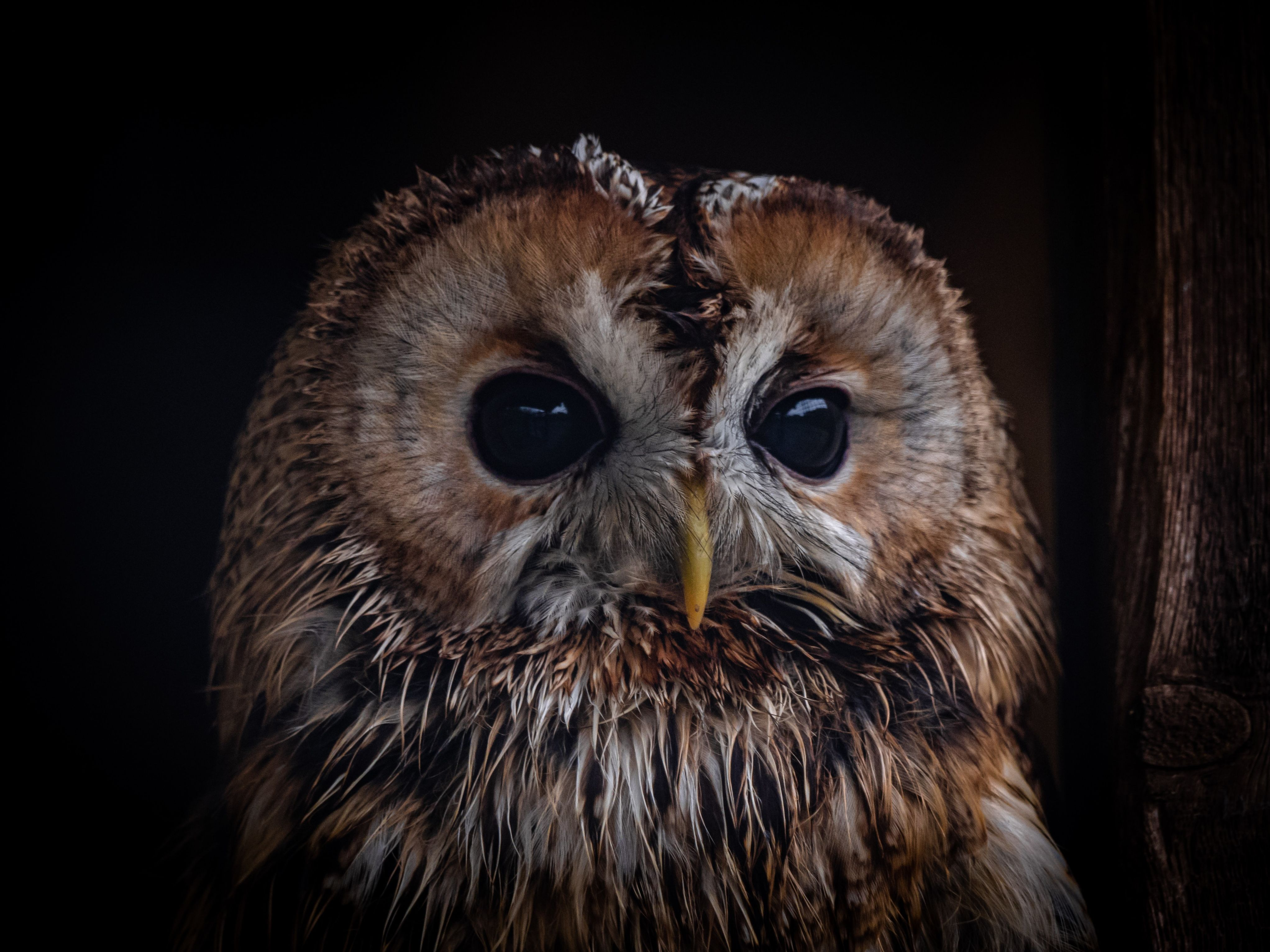 Close up of tawny owl (Strix aluco)