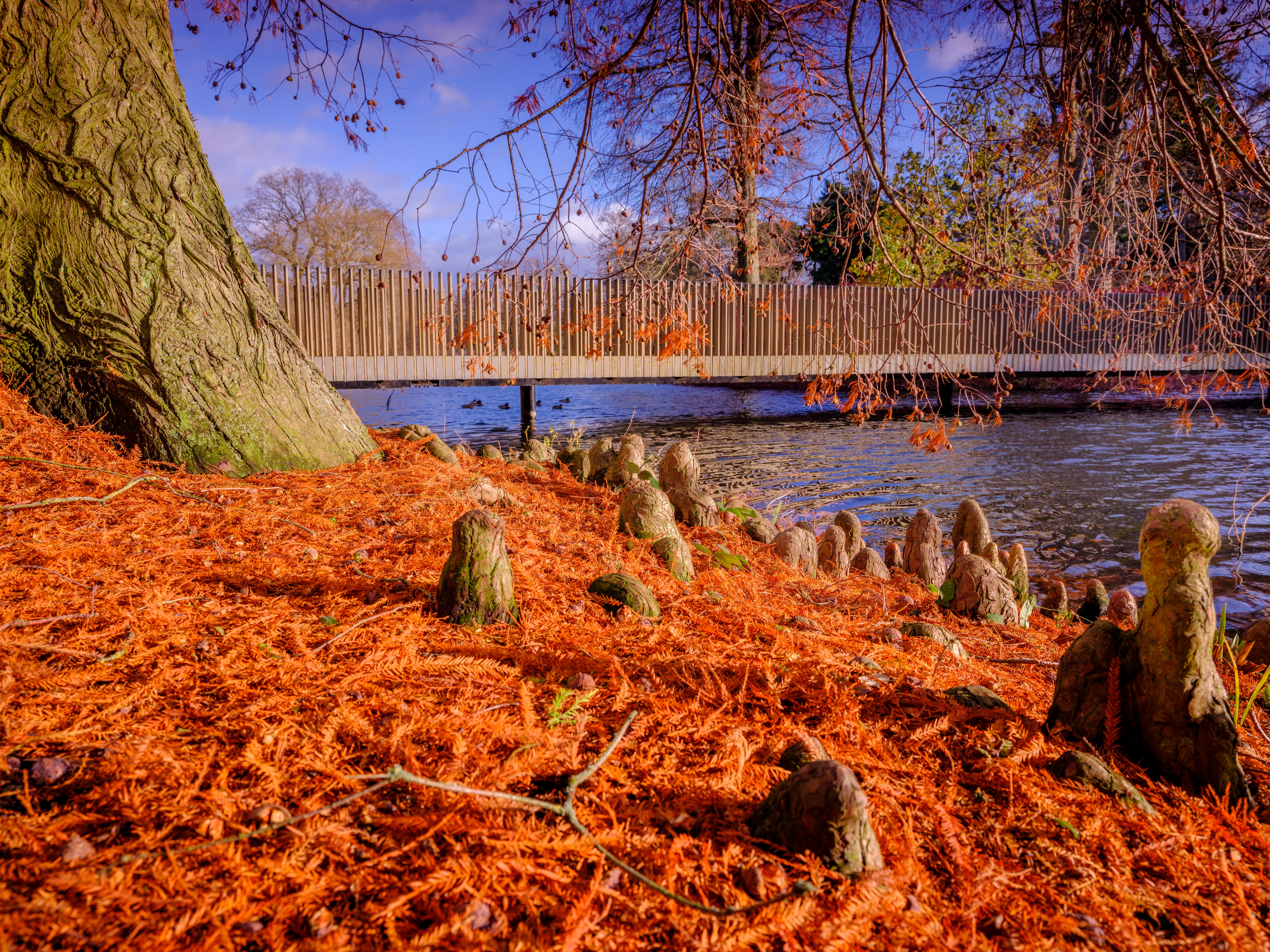 Tree root snorkels by the Sackler Crossing at Kew