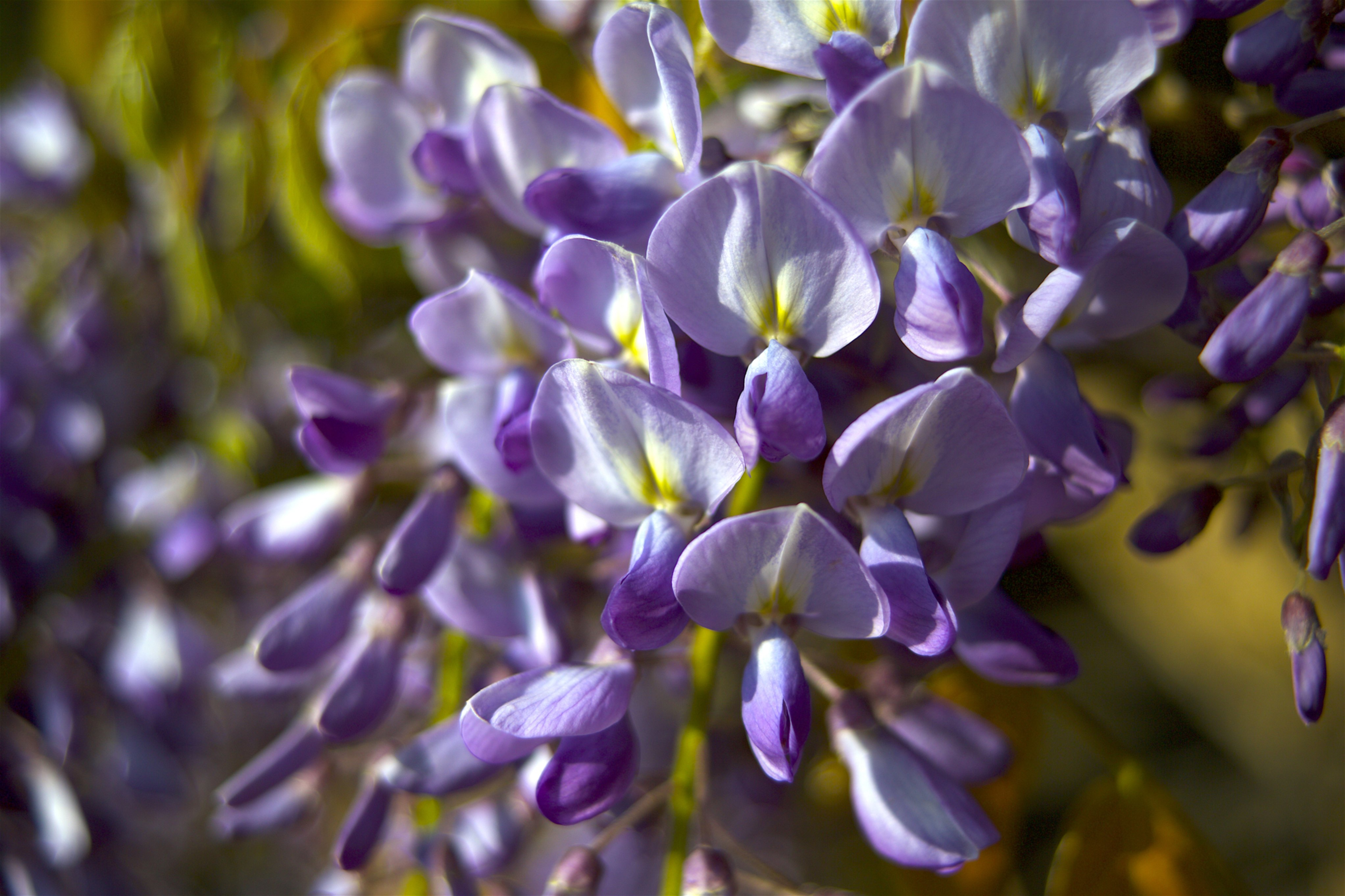 Wisteria at Kew