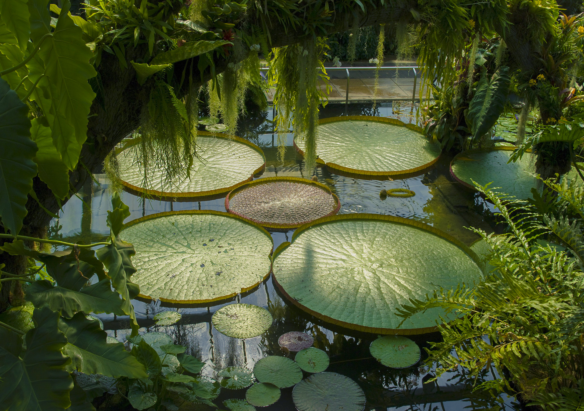 Victoria Amazonica waterlily in the Princess of Wales Conservatory
