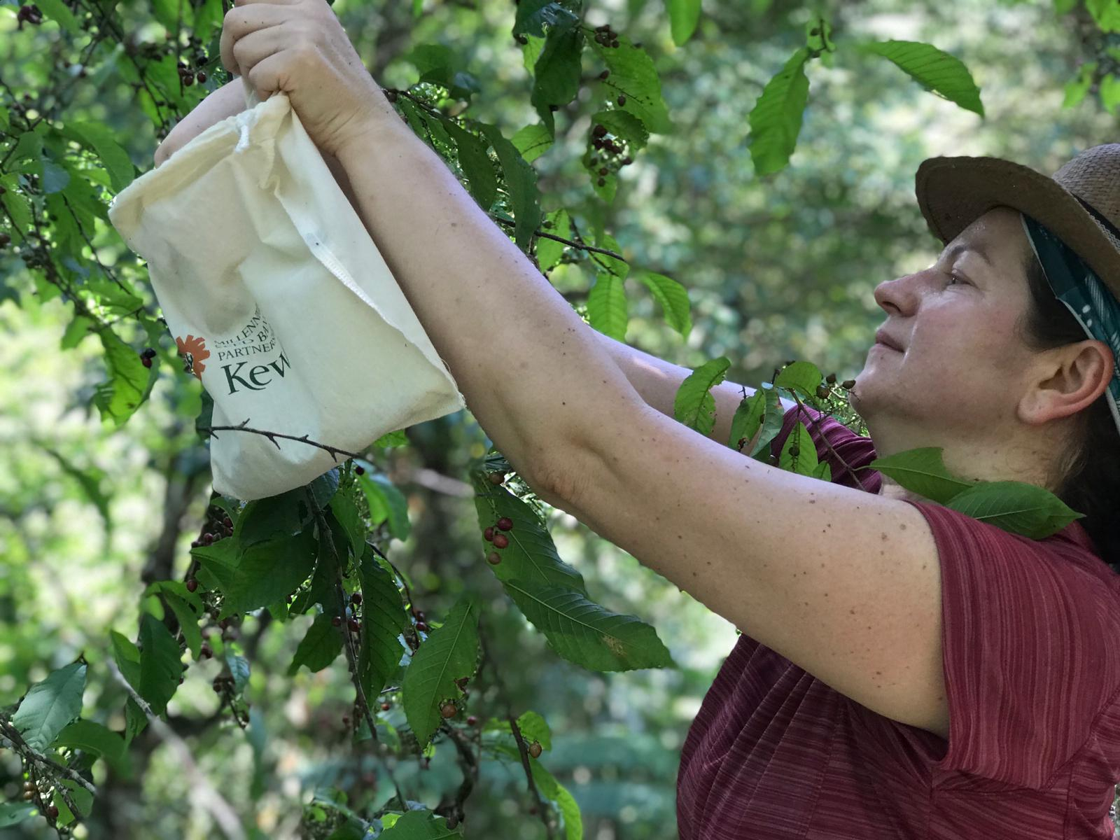 Dr Ulian reaches up to put a seed collection from a tree into a bag for future banking