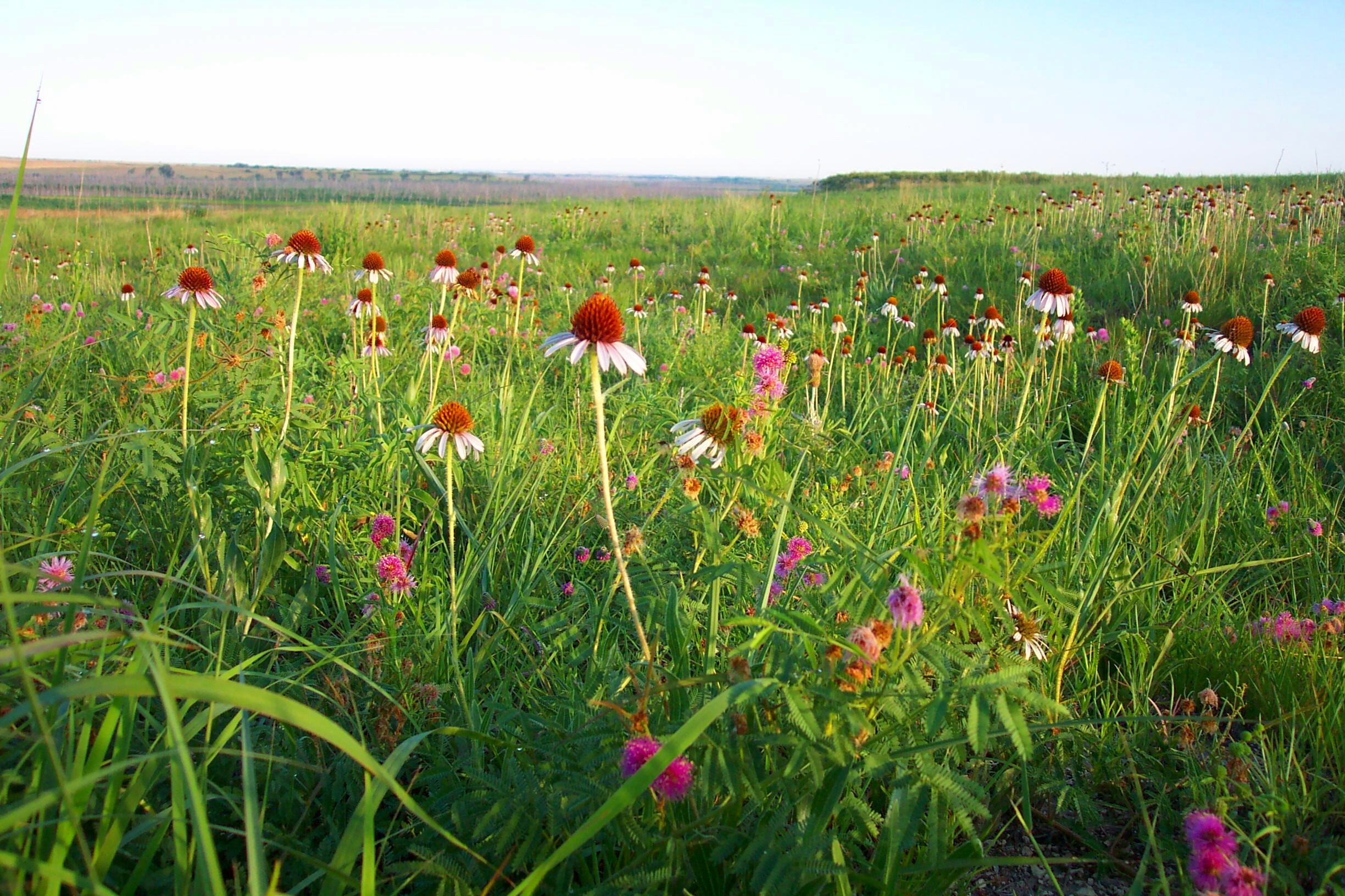 North American prairie wildflowers