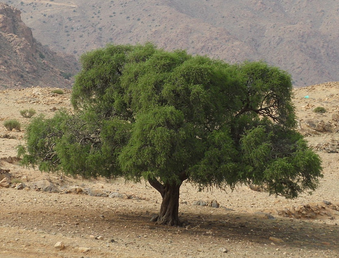 Short argan tree with wide spreading canopy