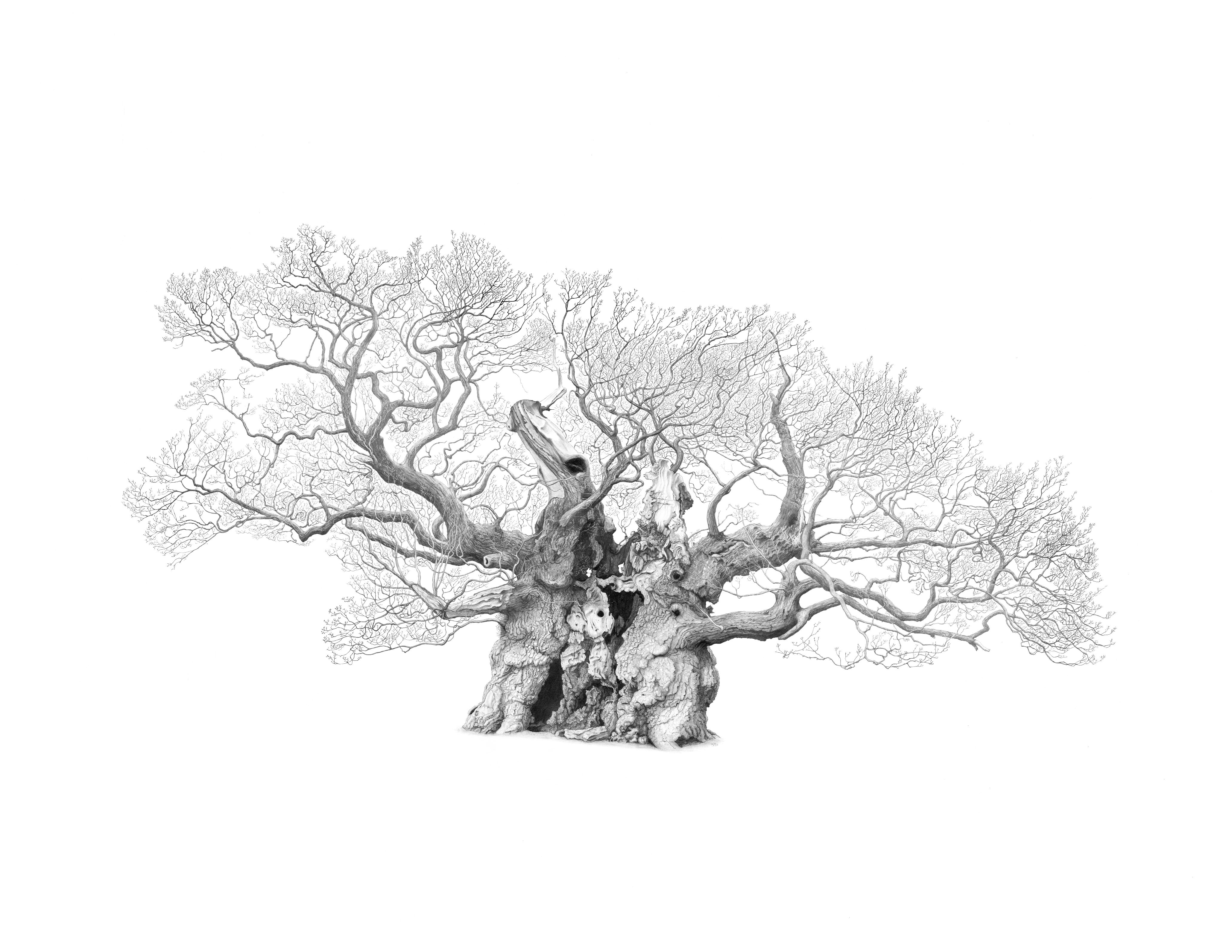 Drawing of Bowthorpe Oak in Lincolnshire by artist Mark Frith