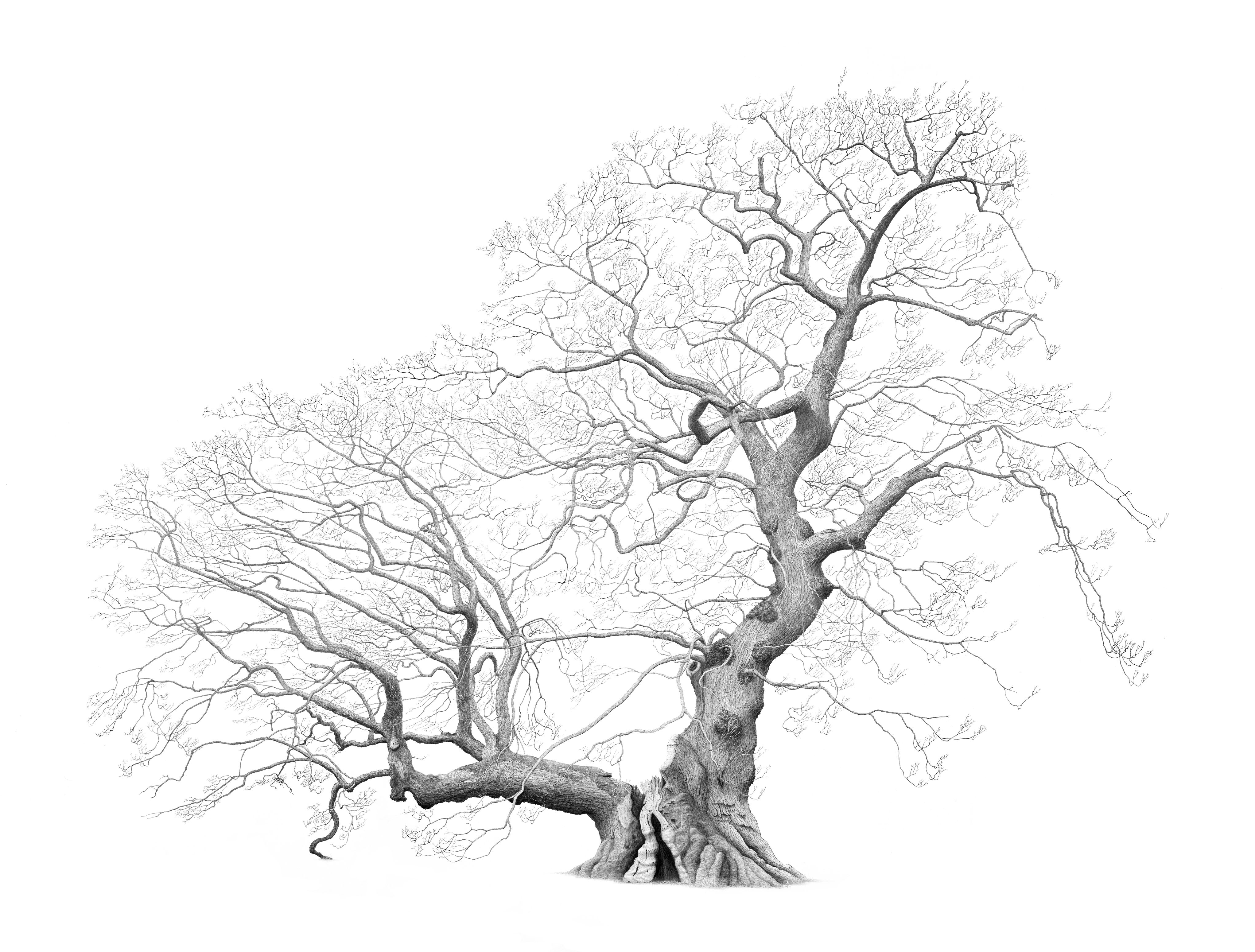 Drawing of Capon Oak in the Borders by artist Mark Frith