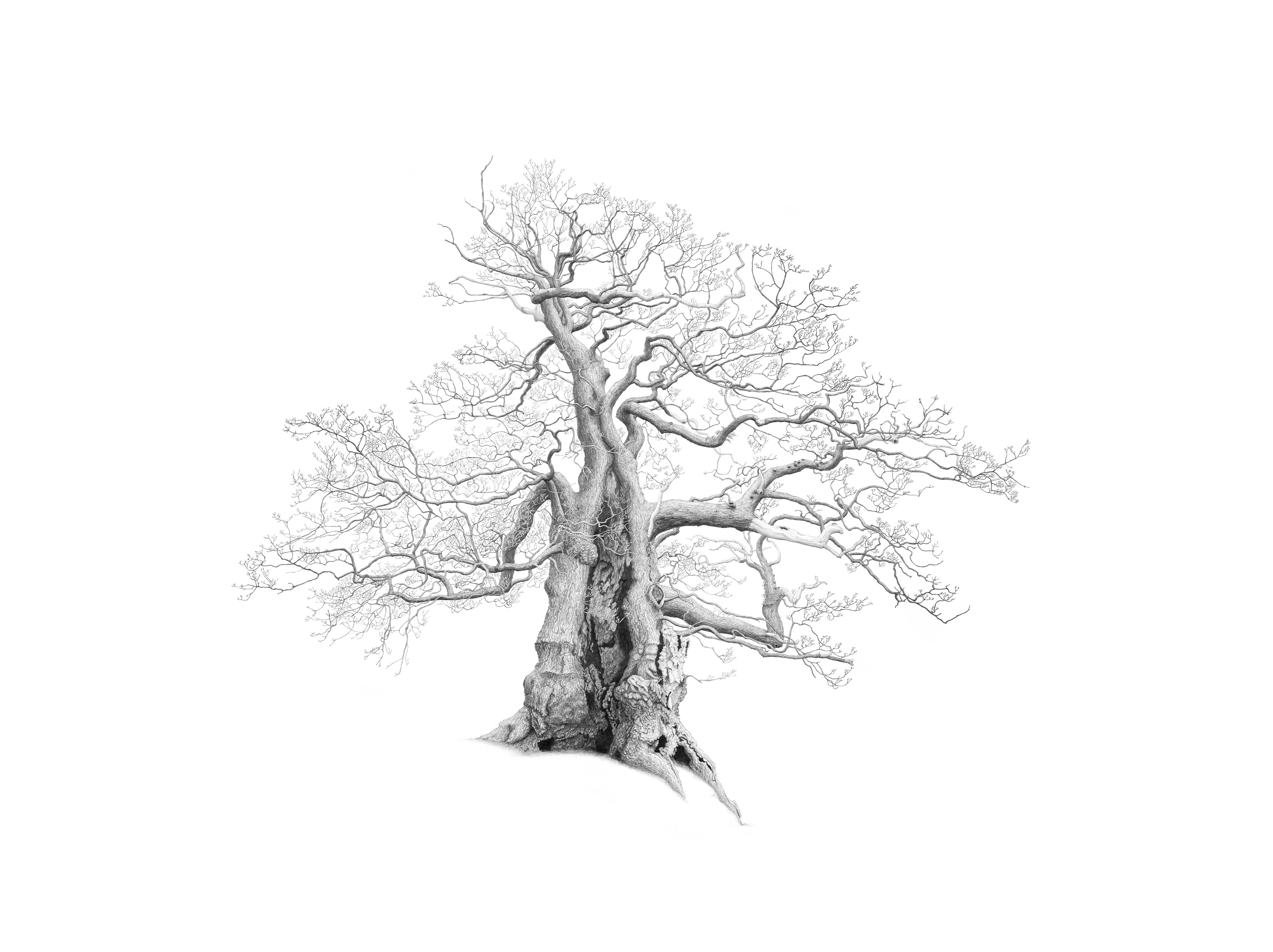 Drawing of Darley Oak in Cornwall by artist Mark Frith