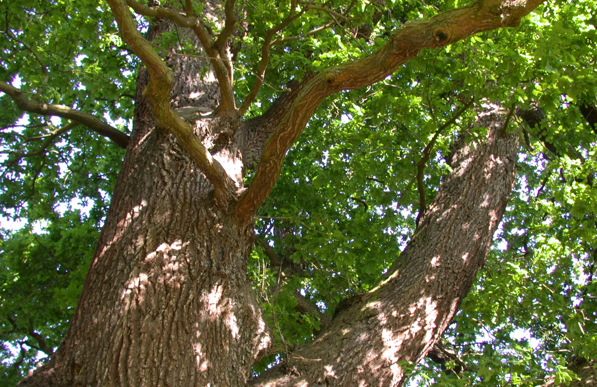 Looking up the trunk of an English oak (Quercus robur)