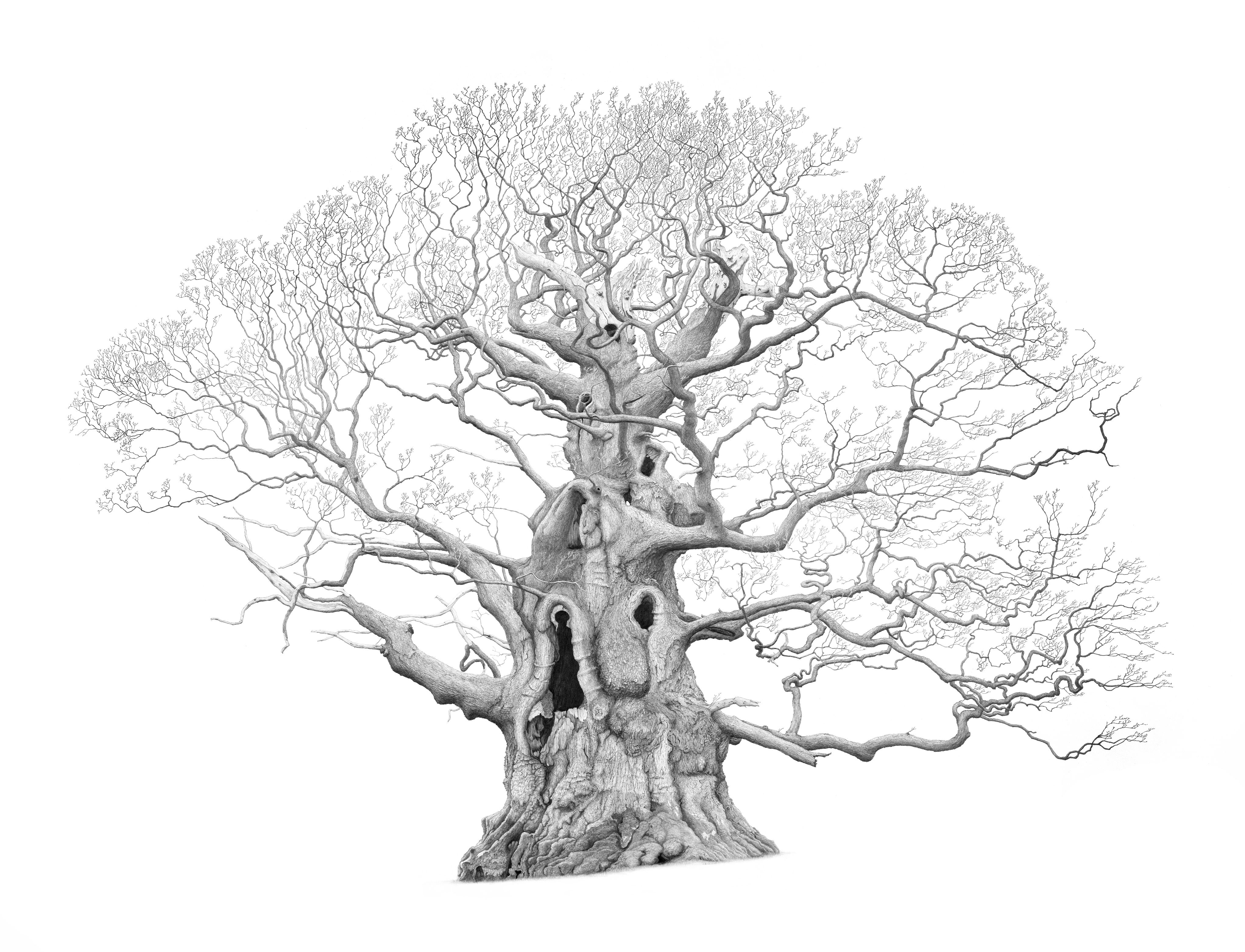 Drawing of Fredville Oak (Majesty Oak) in Kent by artist Mark Frith
