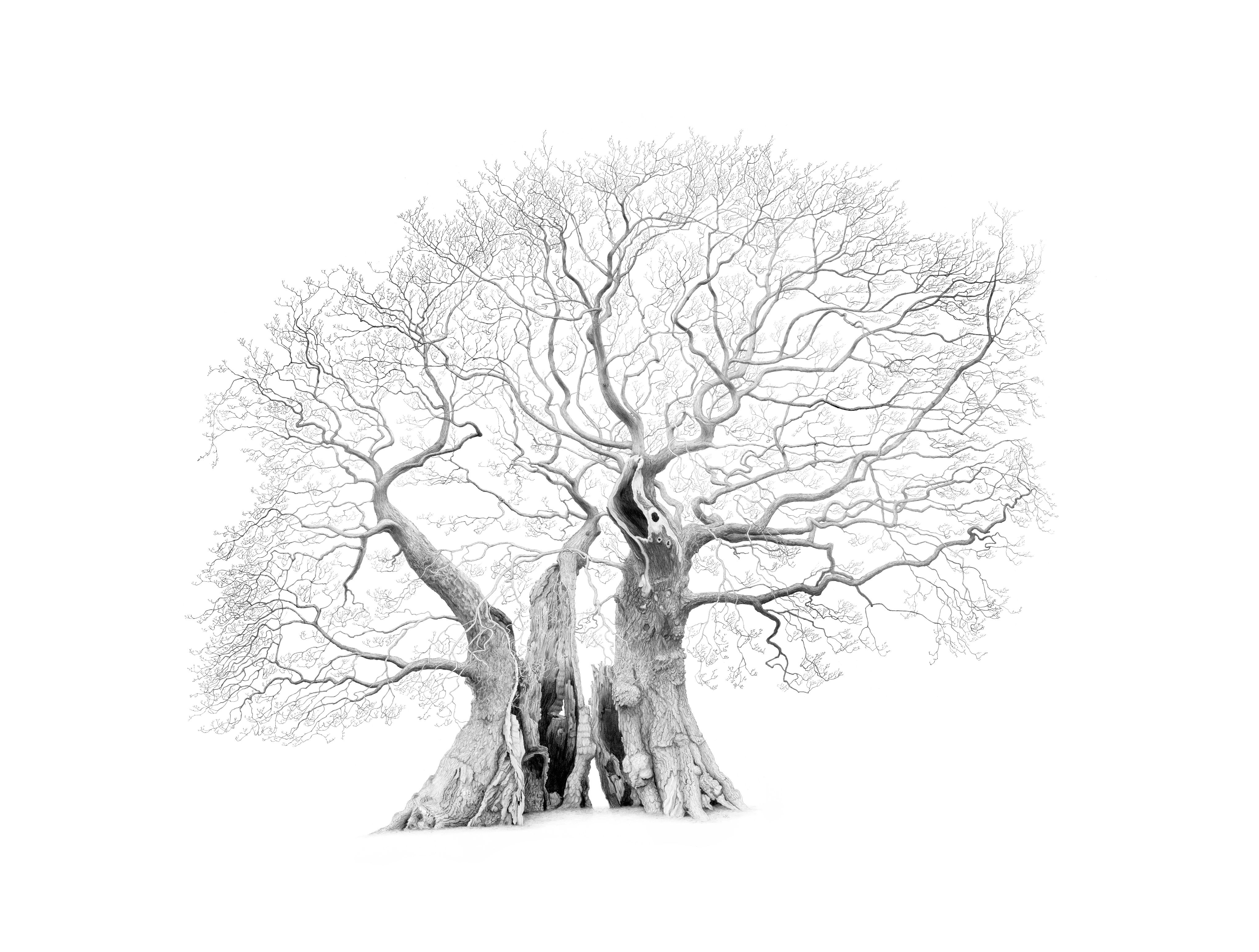 Drawing of Marton Oak in Cheshire by artist Mark Frith