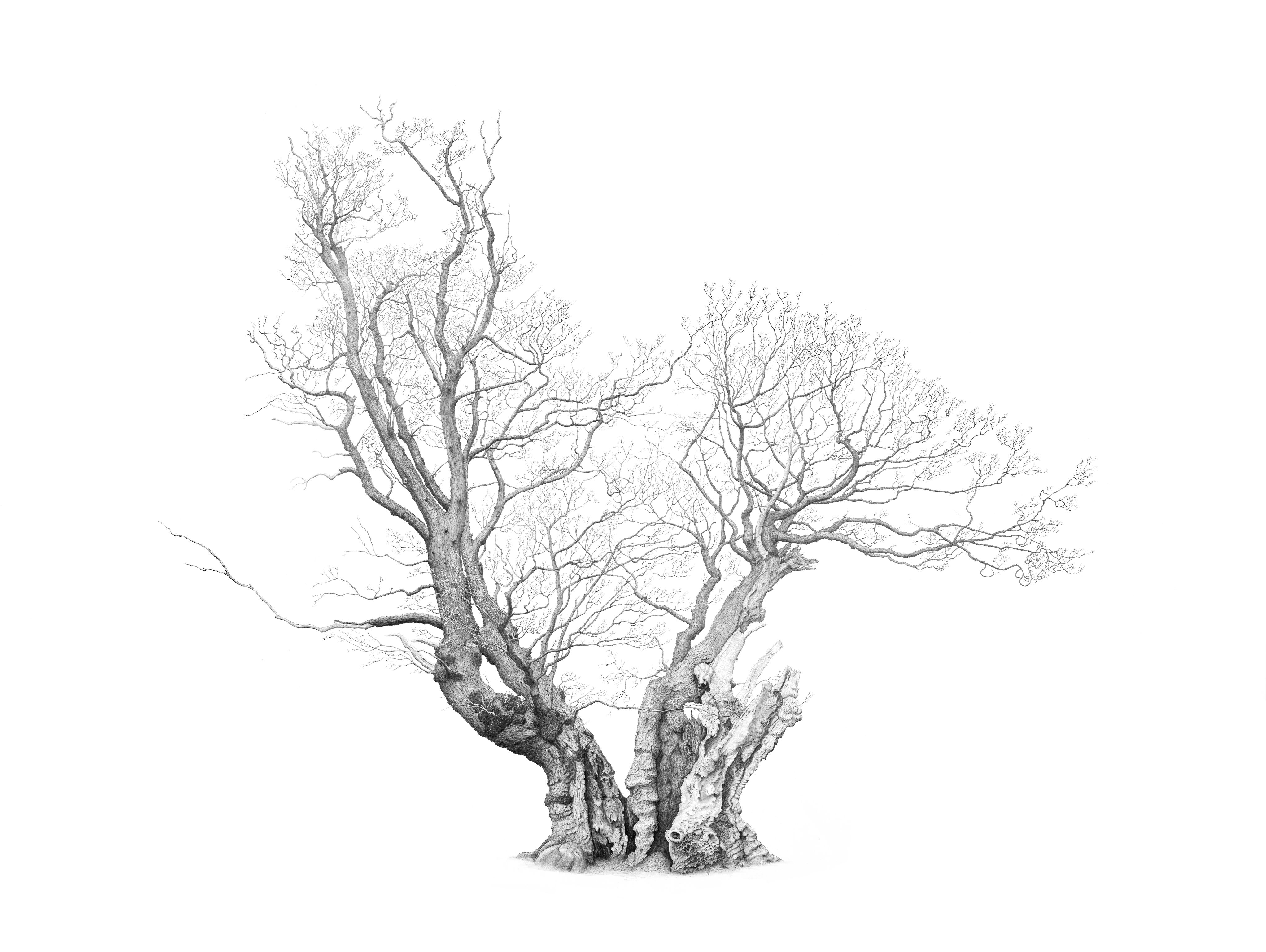 Drawing of Offa's Oak in Windsor Great Park by artist Mark Frith