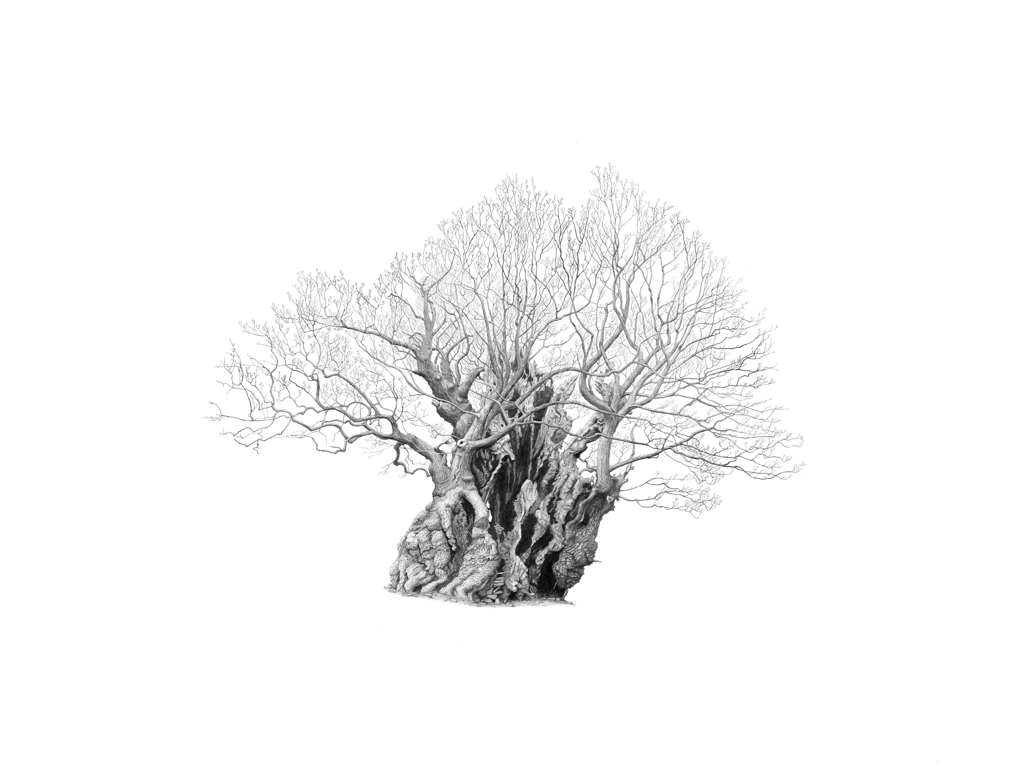 Drawing of Pontfadog Oak in Powys by artist Mark Frith