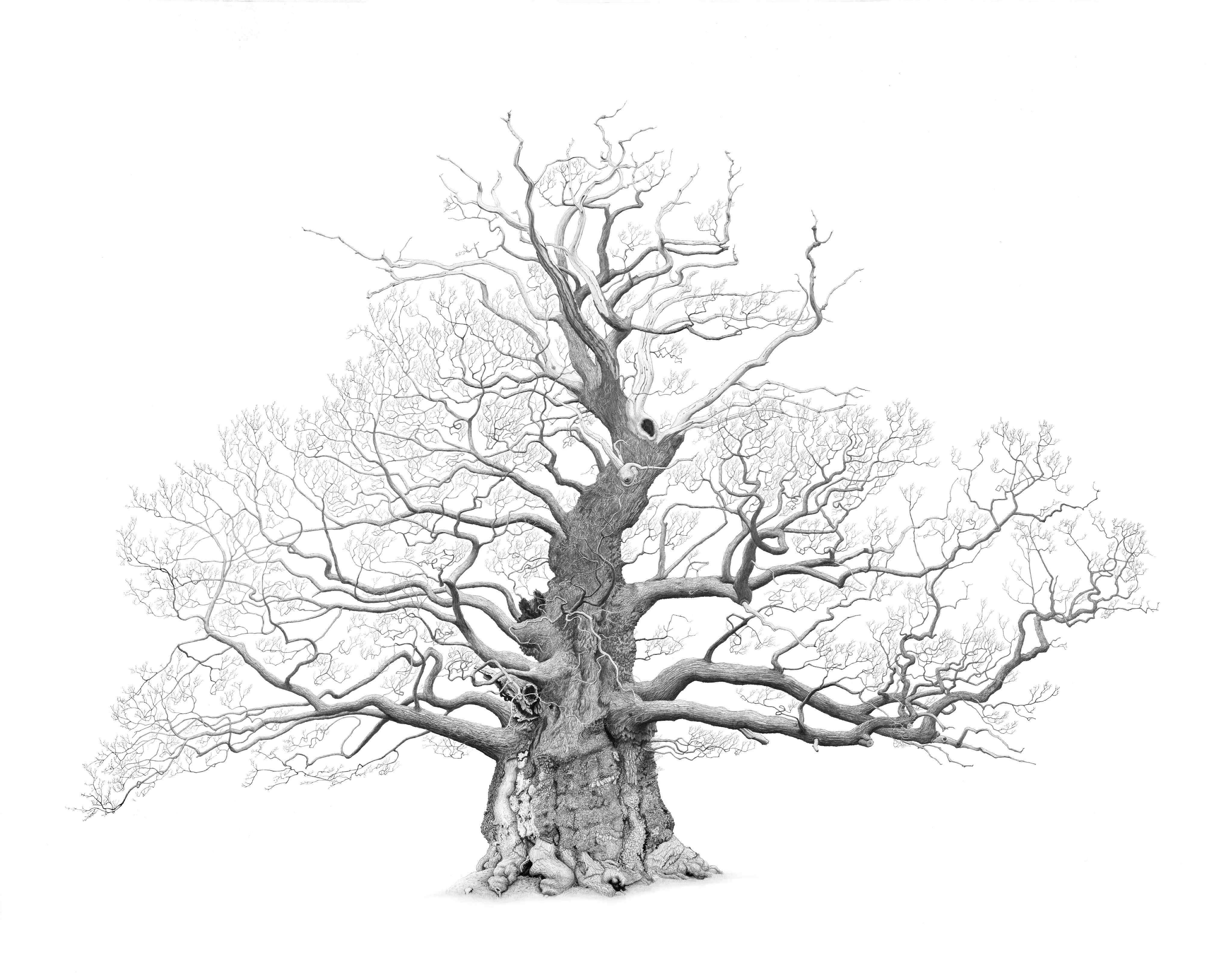 Drawing of The Great Oak in Nibley Green by artist Mark Frith