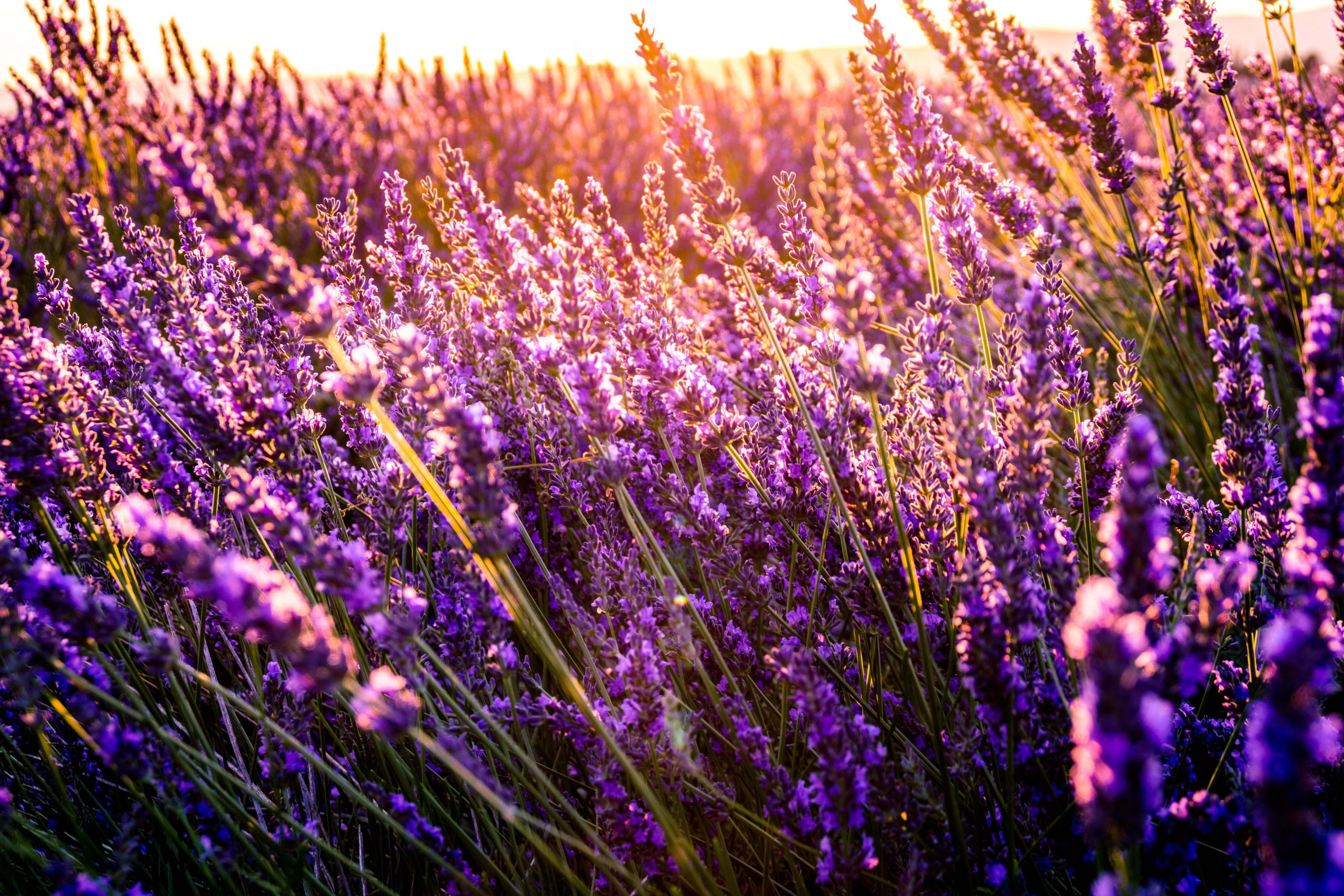 A lavender field in the sunlight