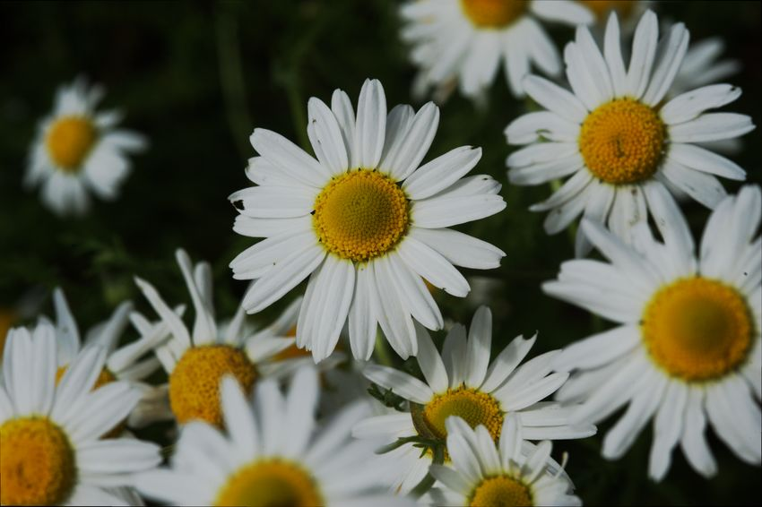 white, daisy-like flowers with a yellow centre of chamomile plant