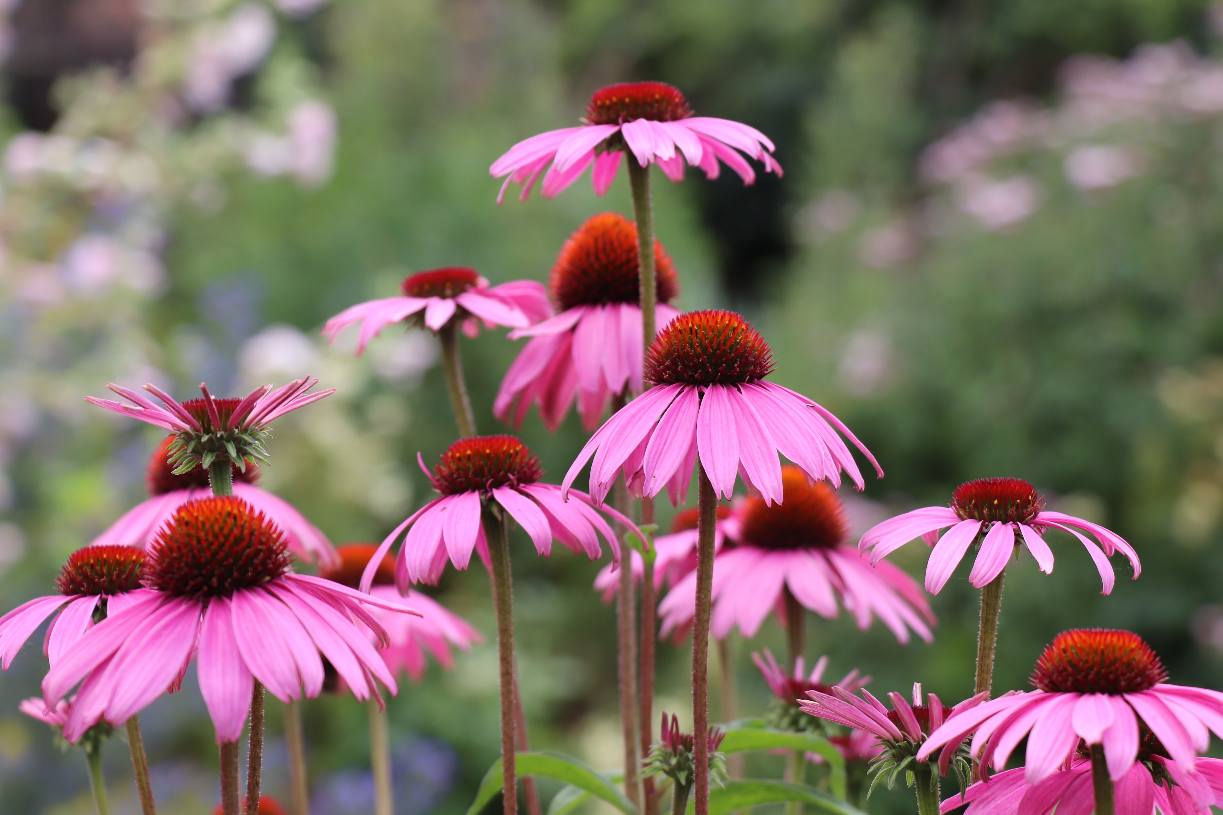 Pink echinacea heads in full bloom in the Great Broadwalk Borders