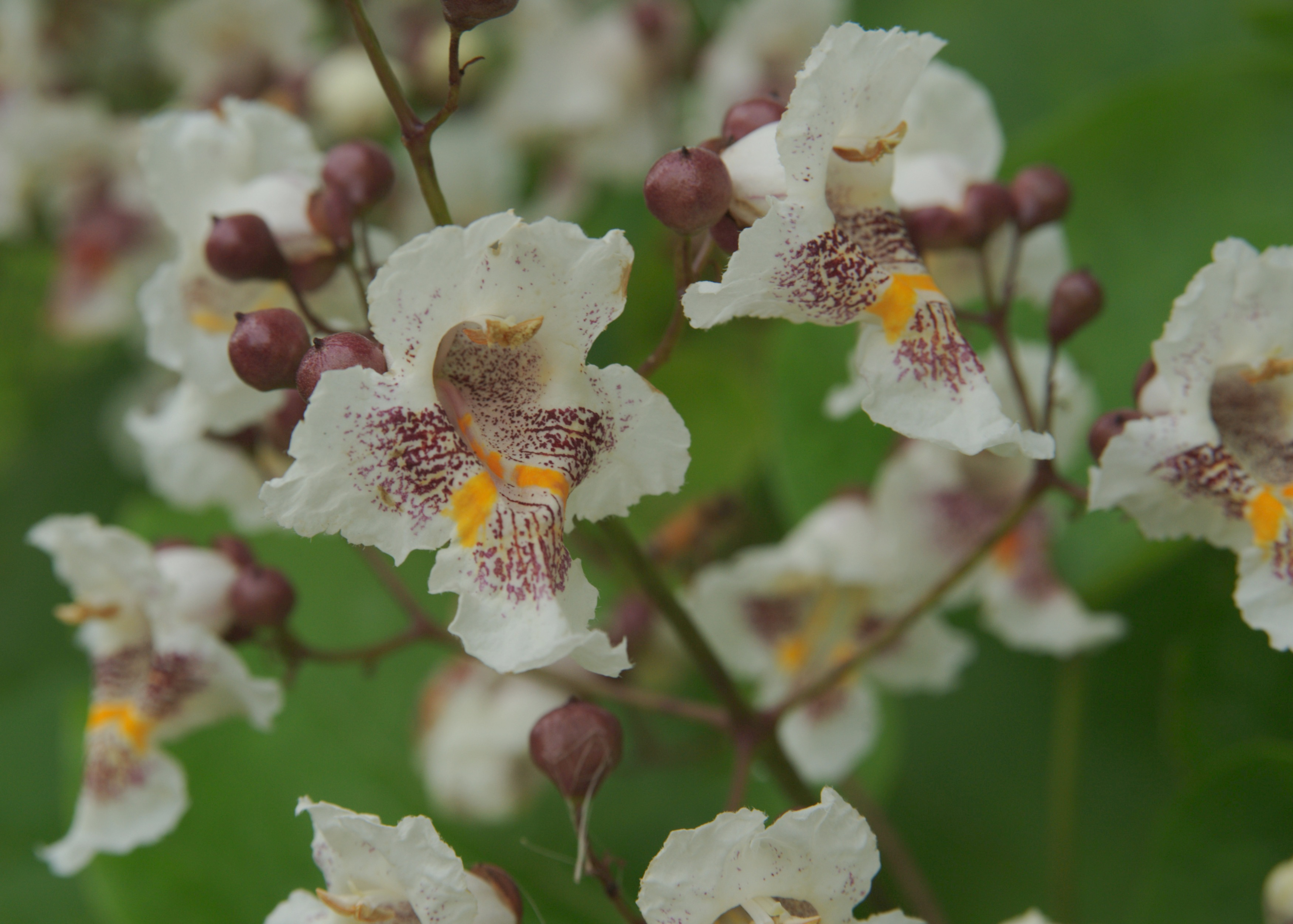 Close up of flowers of Indian bean tree (Catalpa bignonioides)
